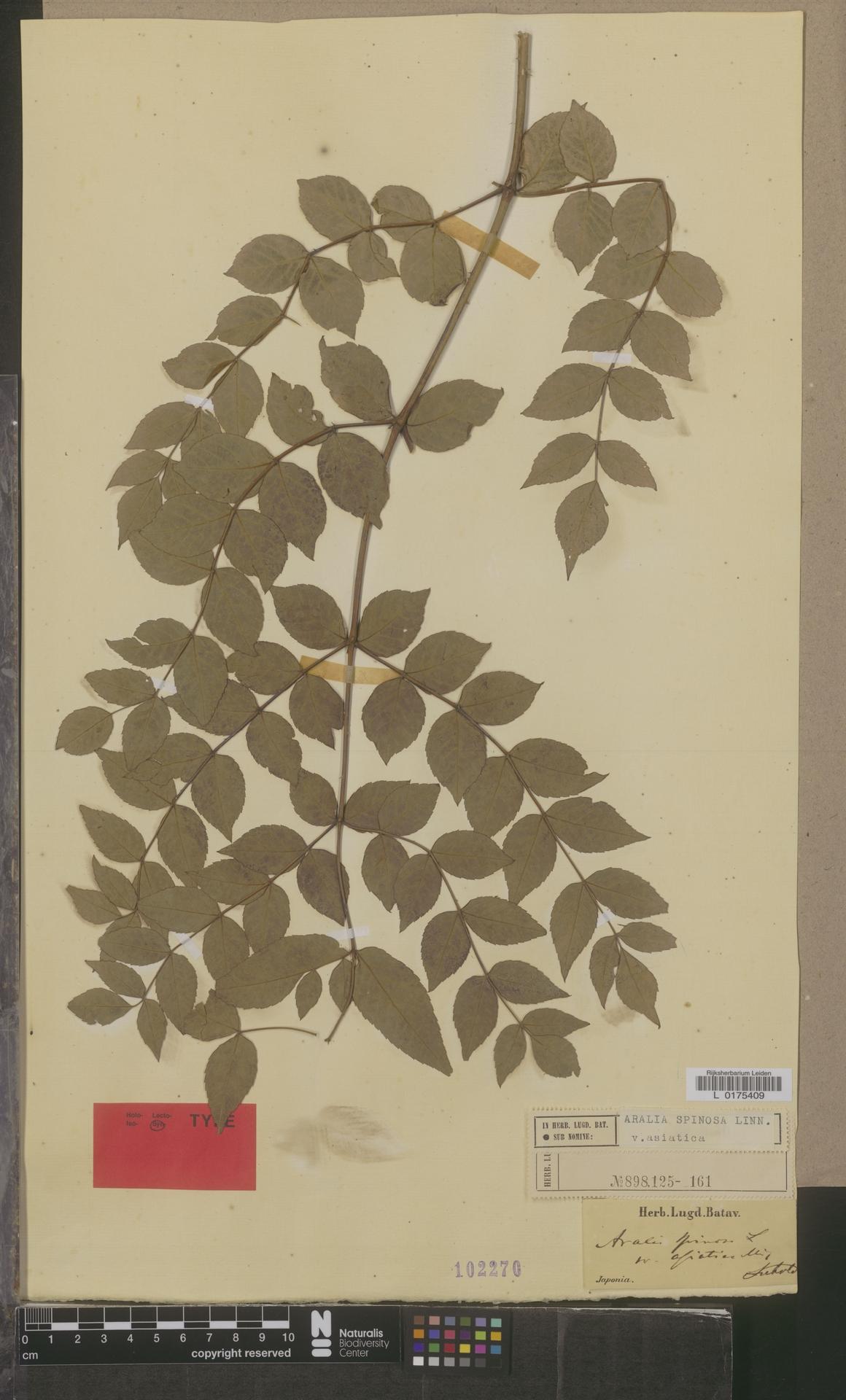 L  0175409 | Aralia spinosa var. asiatica