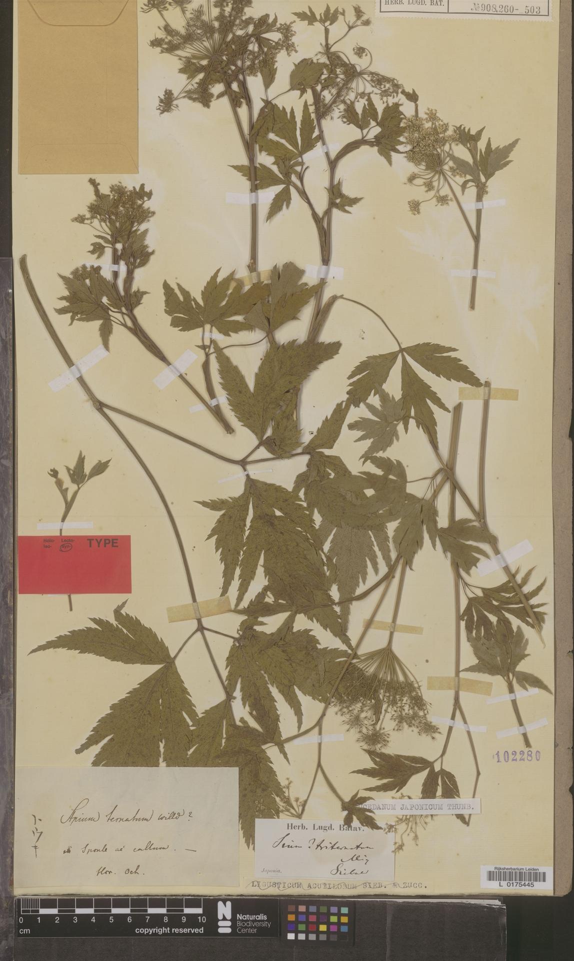 L  0175445 | Peucedanum japonicum Thunb.