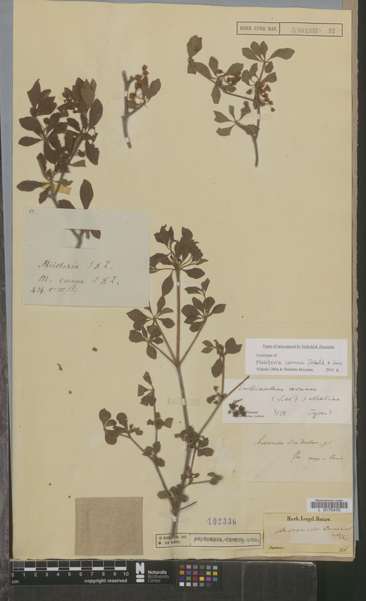 L  0175475 | Enkianthus cernuus (Siebold & Zucc.) Makino