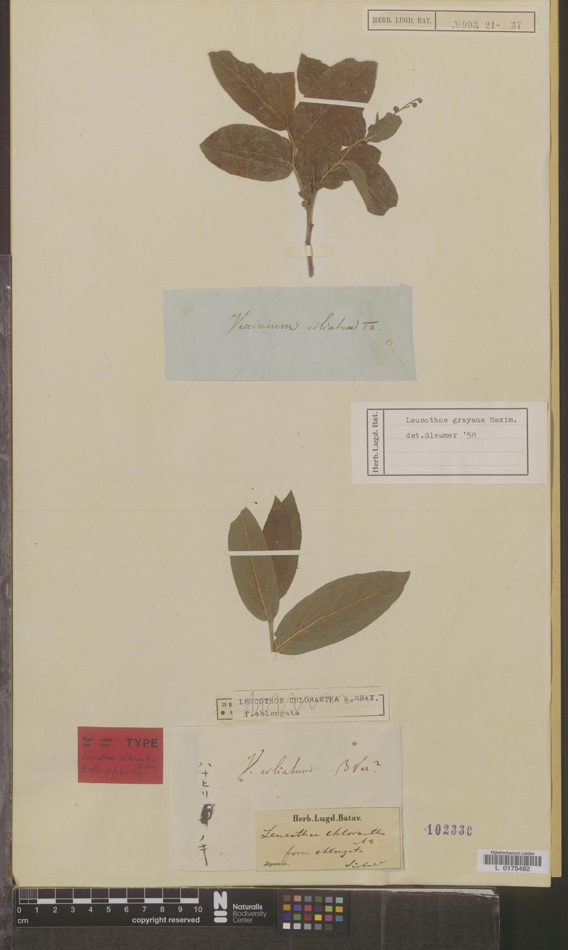 L  0175482 | Leucothoe grayana Maxim.