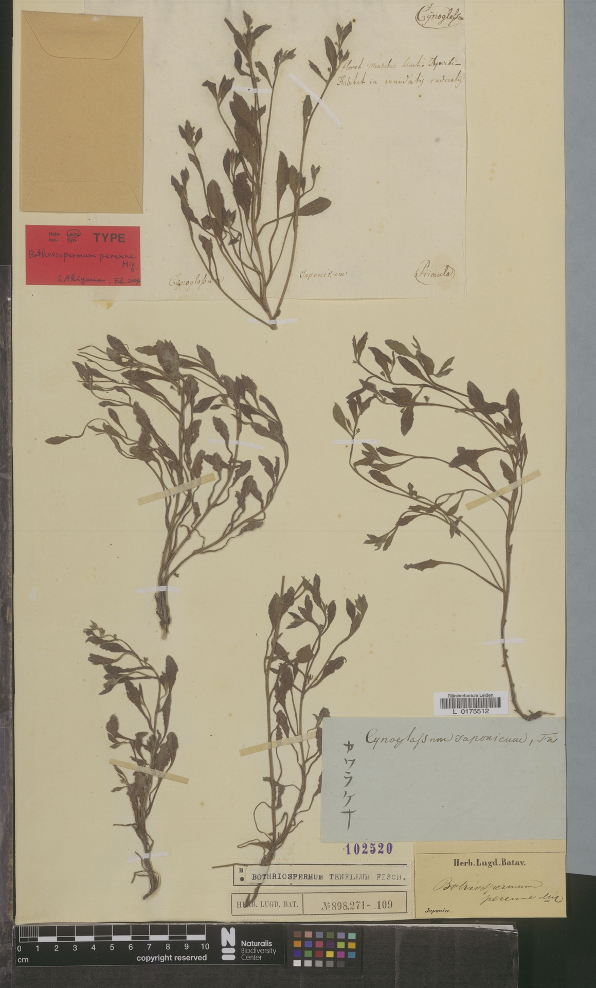 L  0175512 | Bothriospermum tenellum Fisch.