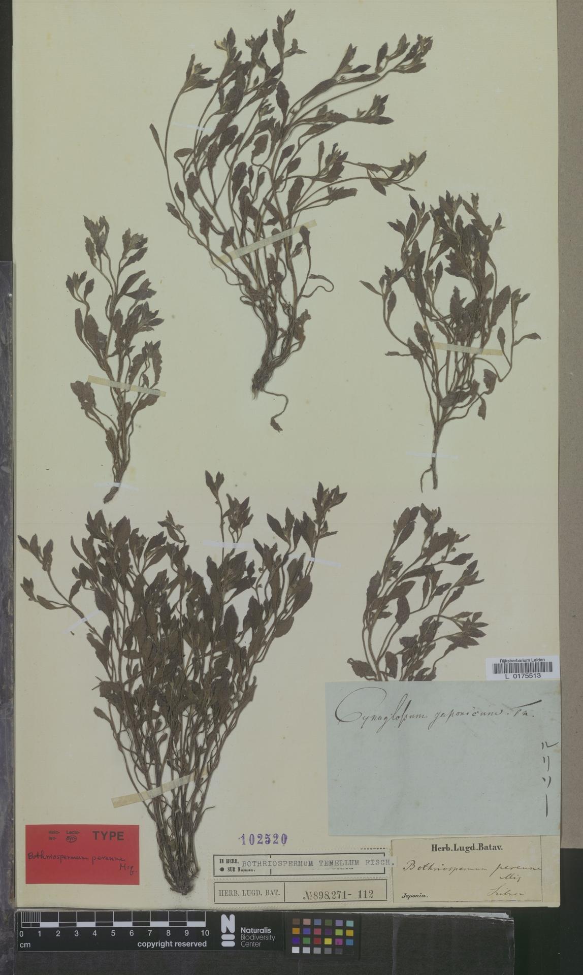 L  0175513 | Bothriospermum tenellum Fisch.