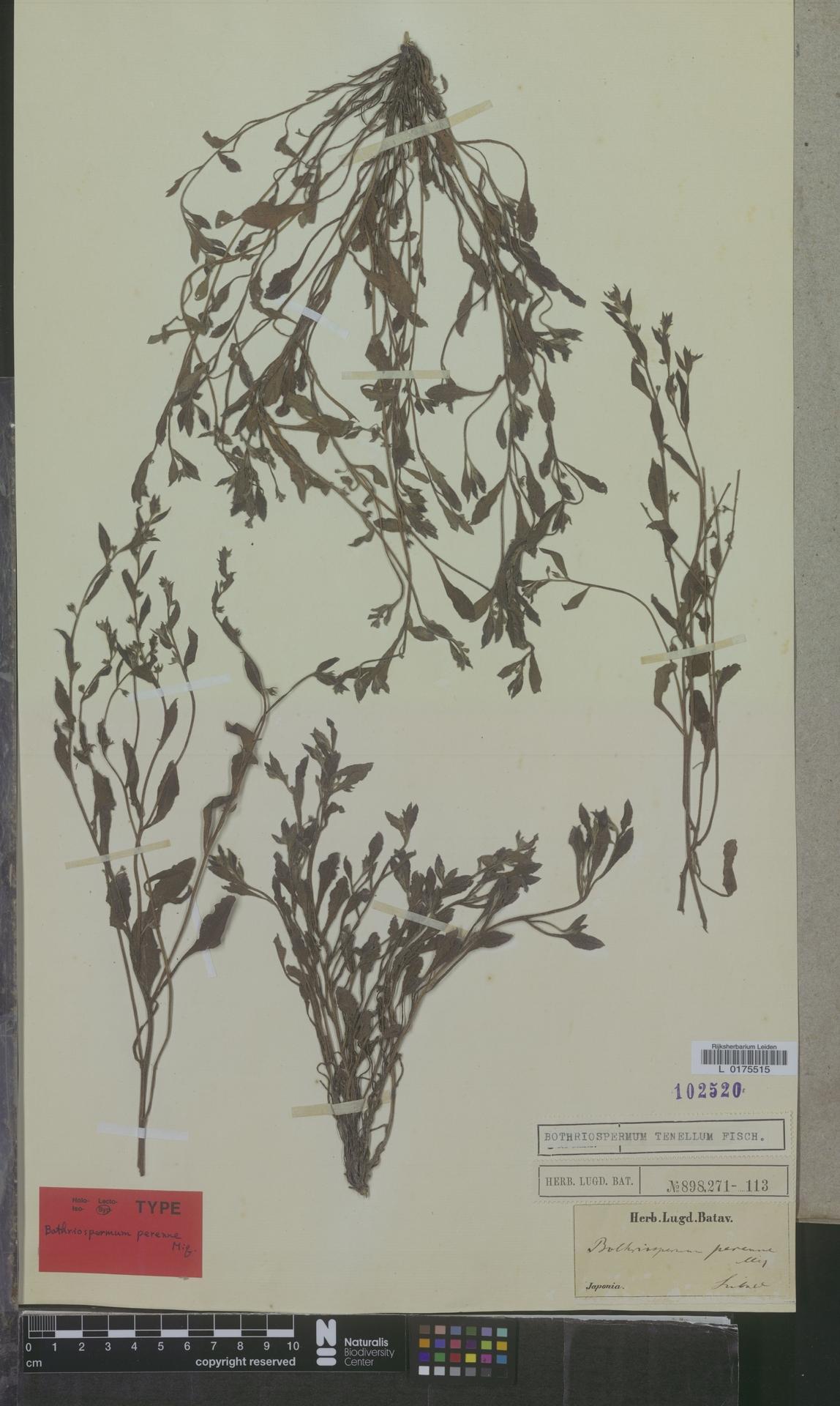 L  0175515   Bothriospermum tenellum Fisch.