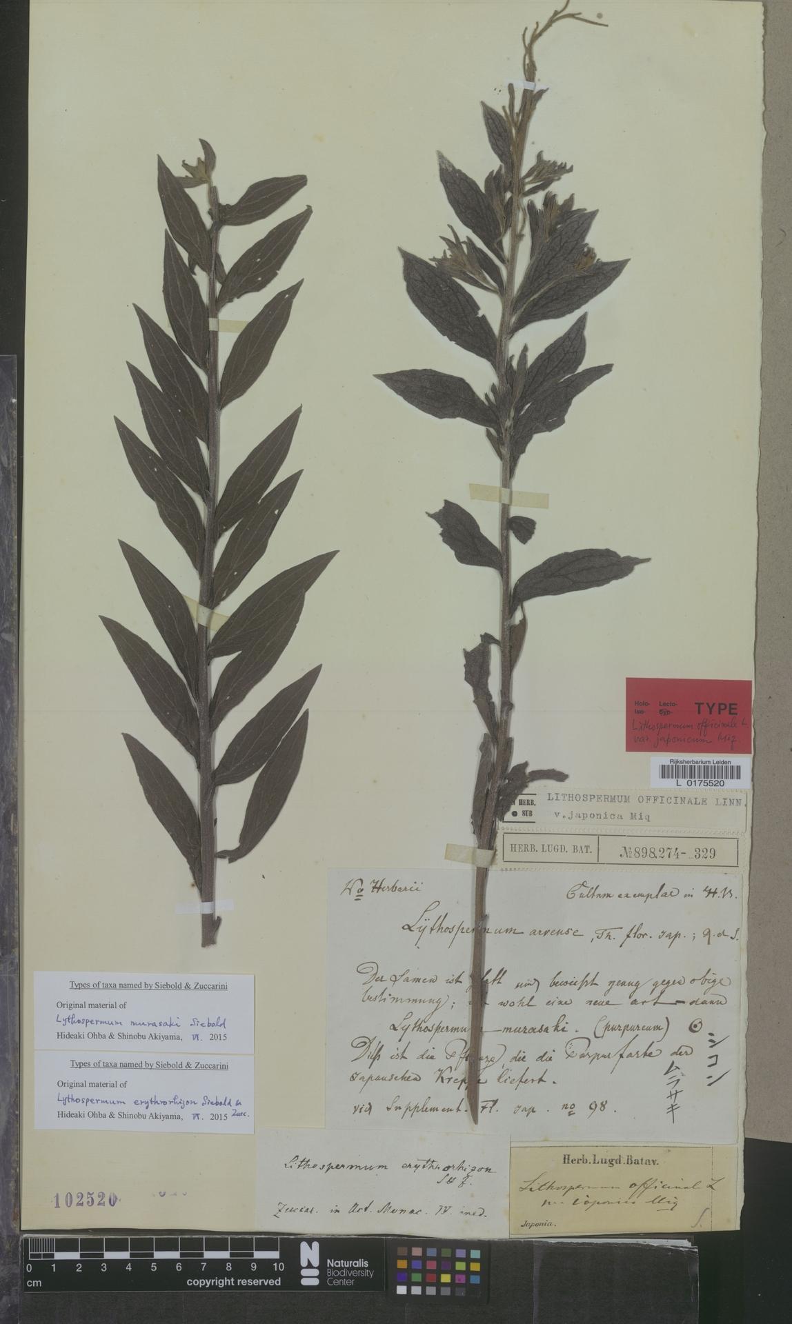 L  0175520 | Lithospermum officinale var. japonica Miq.