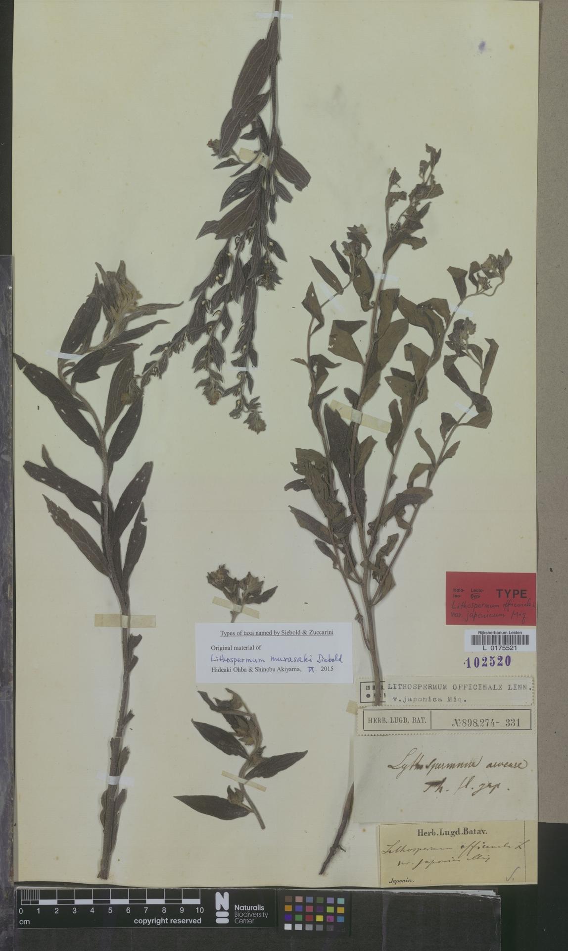 L  0175521 | Lithospermum officinale var. japonica Miq.