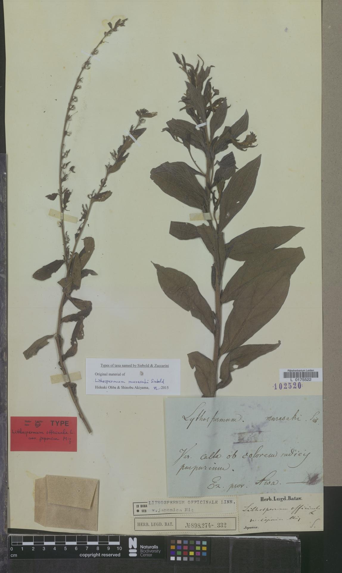 L  0175522 | Lithospermum officinale var. japonica Miq.