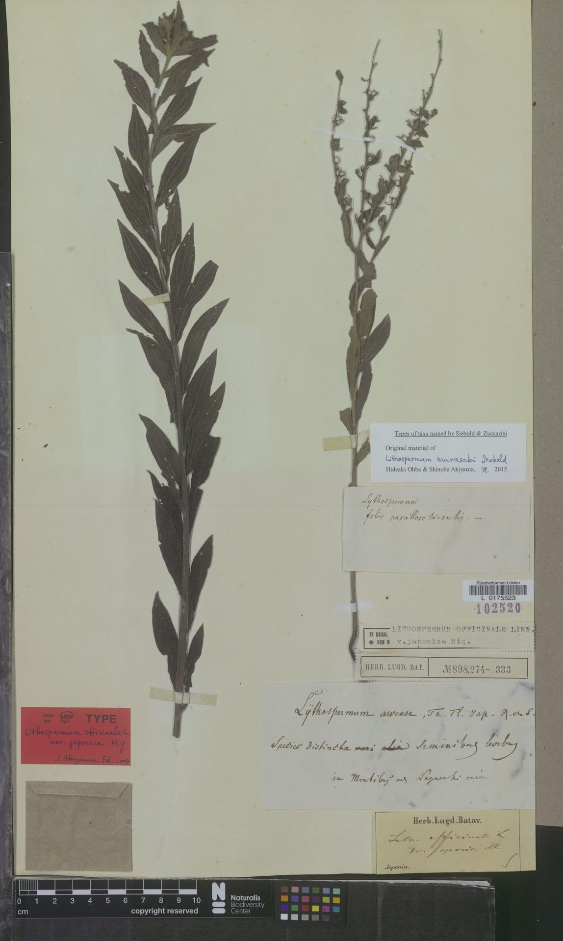 L  0175523 | Lithospermum officinale var. japonica Miq.