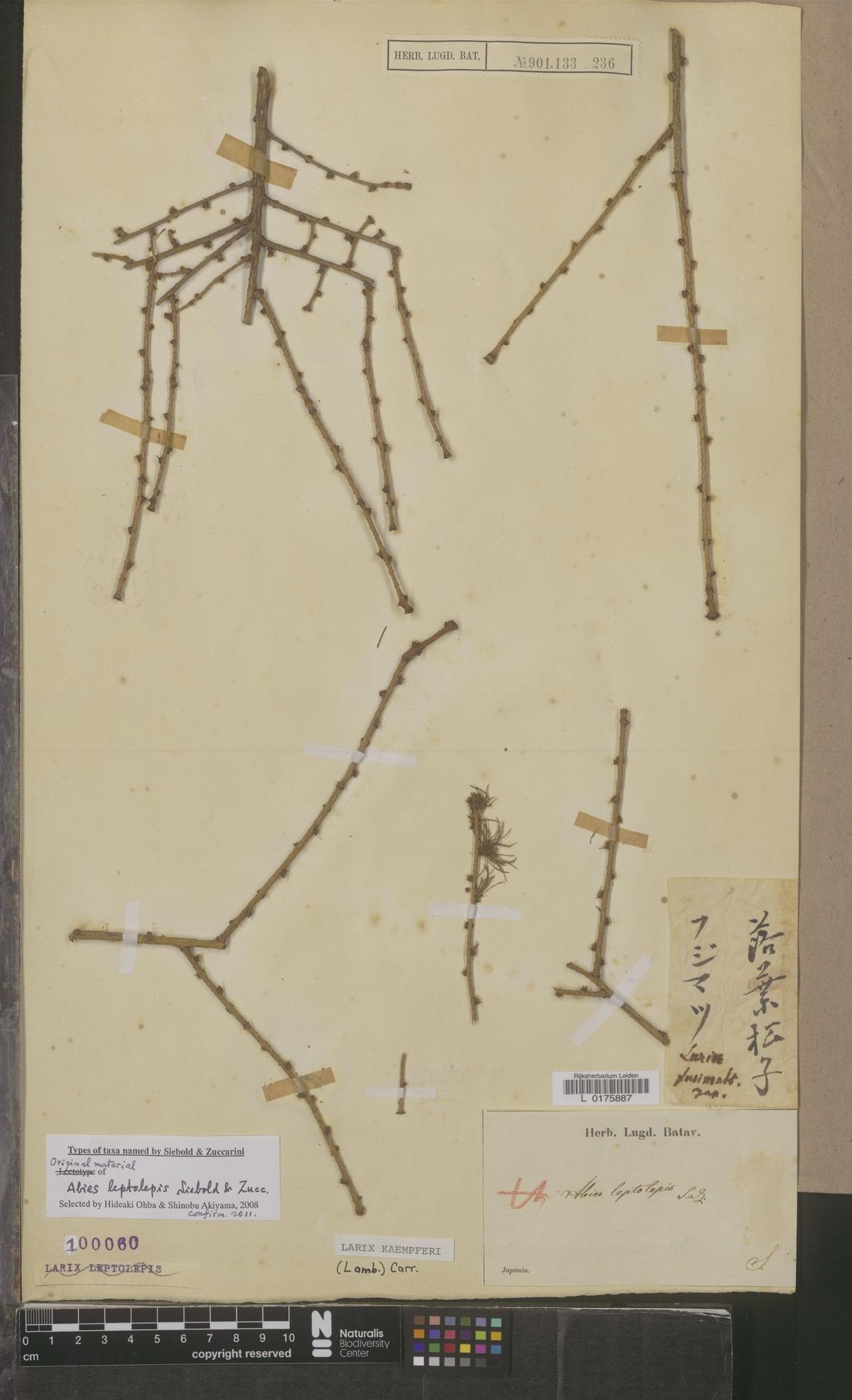 L  0175887 | Larix kaempferi (Lamb.) Carrière