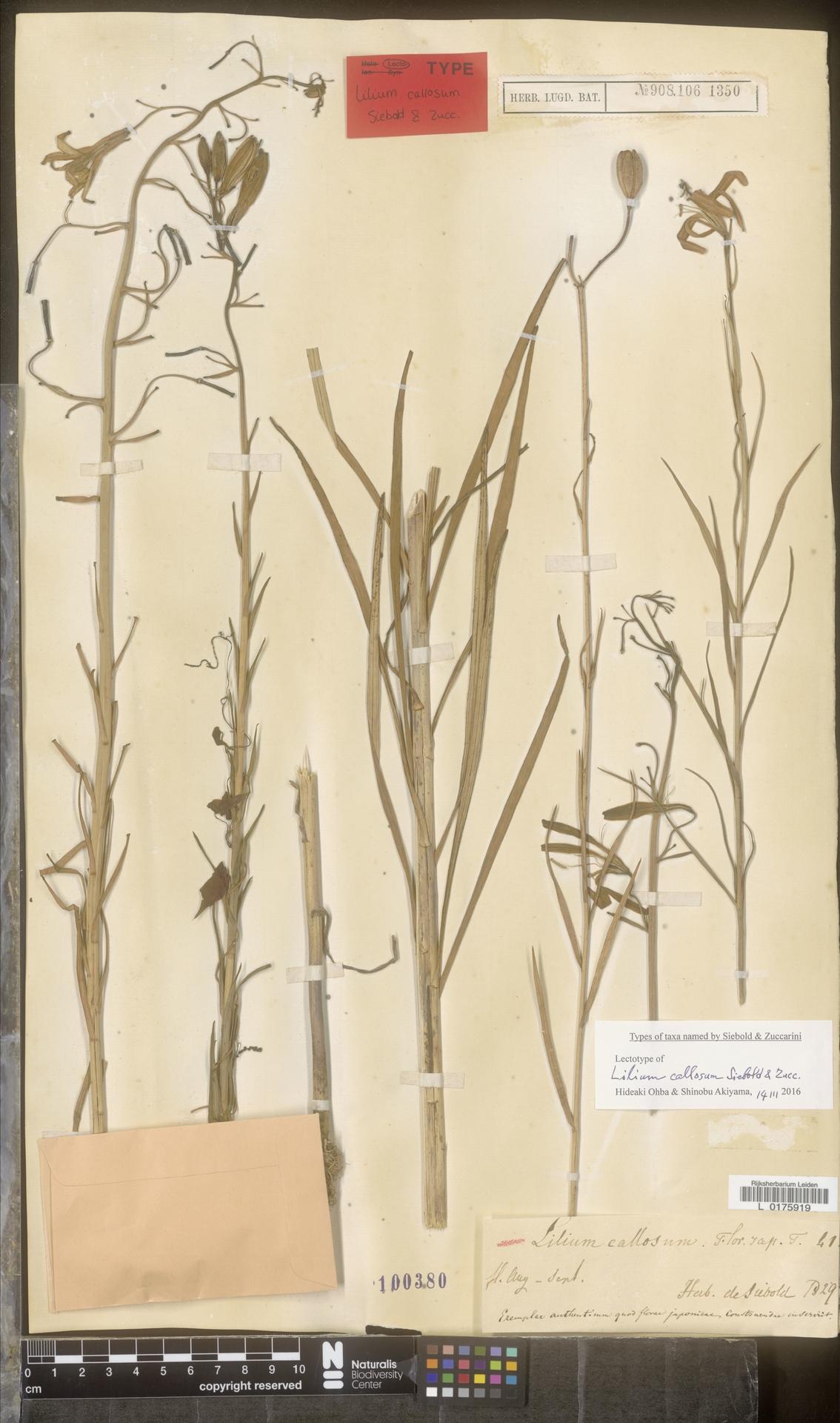 L  0175919 | Lilium callosum Siebold & Zucc.