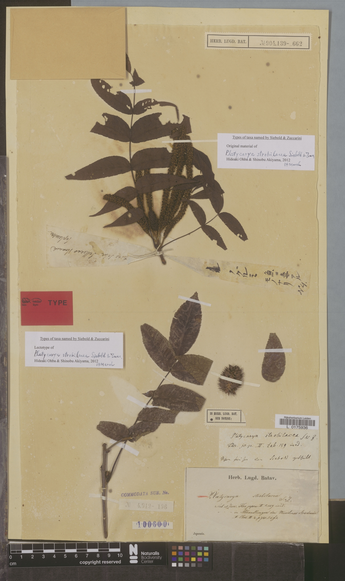 L  0175936   Platycarya strobilacea Siebold & Zucc.