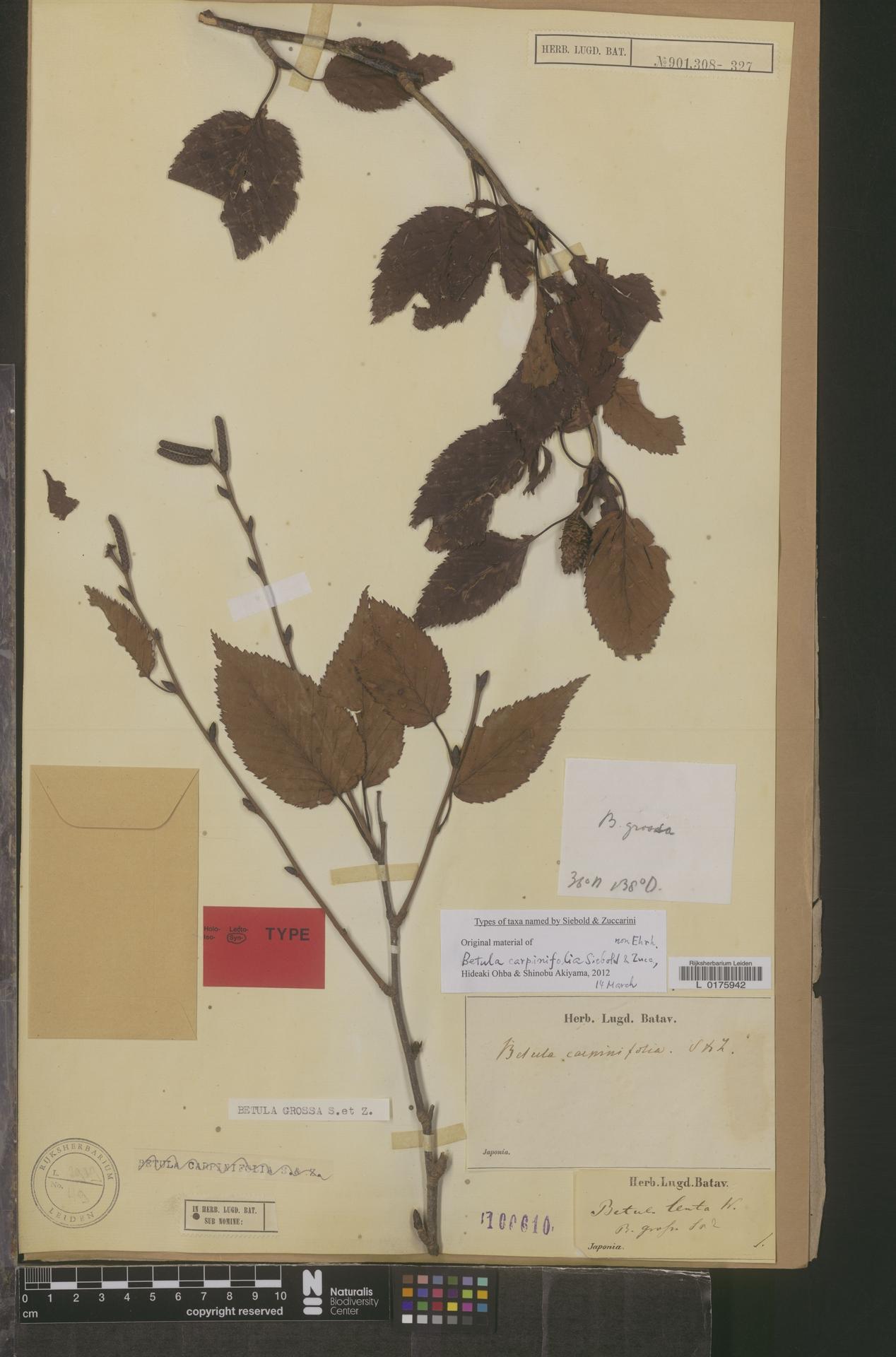 L  0175942 | Betula grossa Siebold & Zucc.