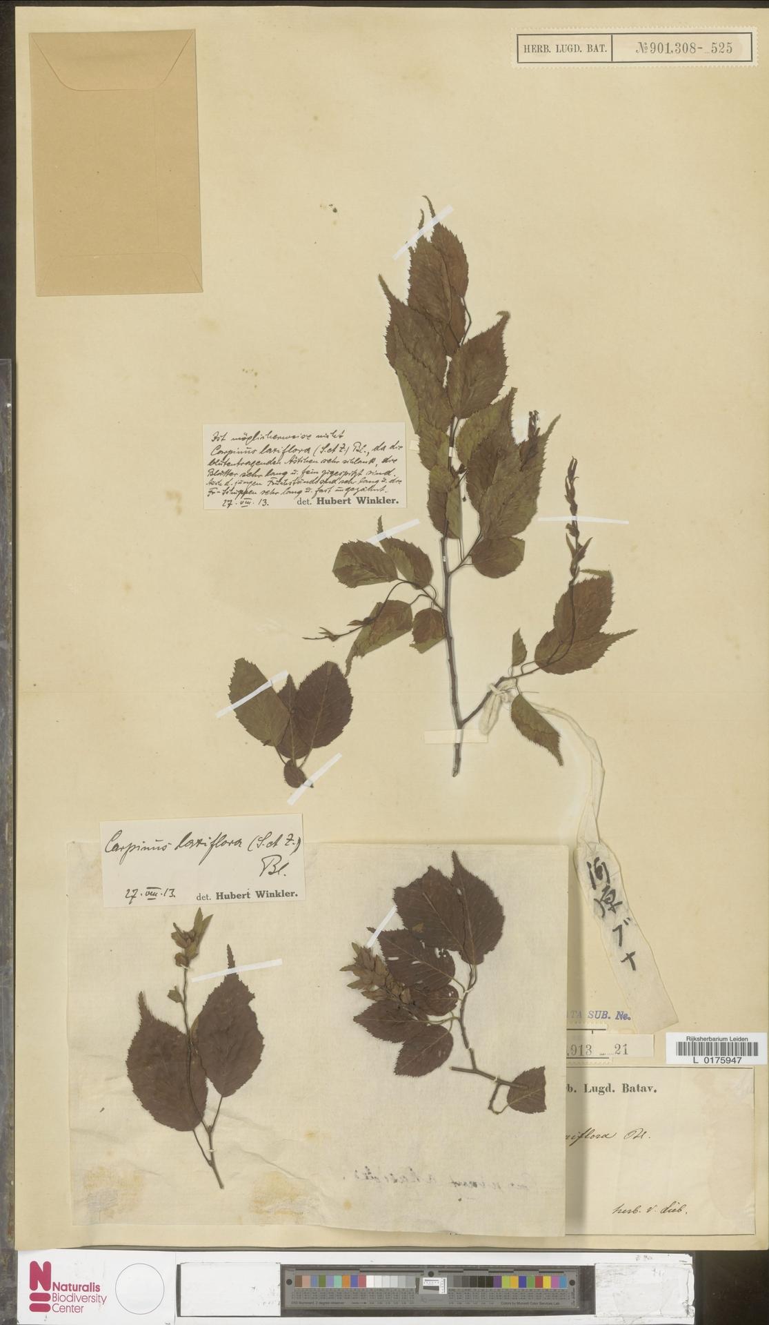L  0175947   Carpinus laxiflora (Siebold & Zucc.) Blume