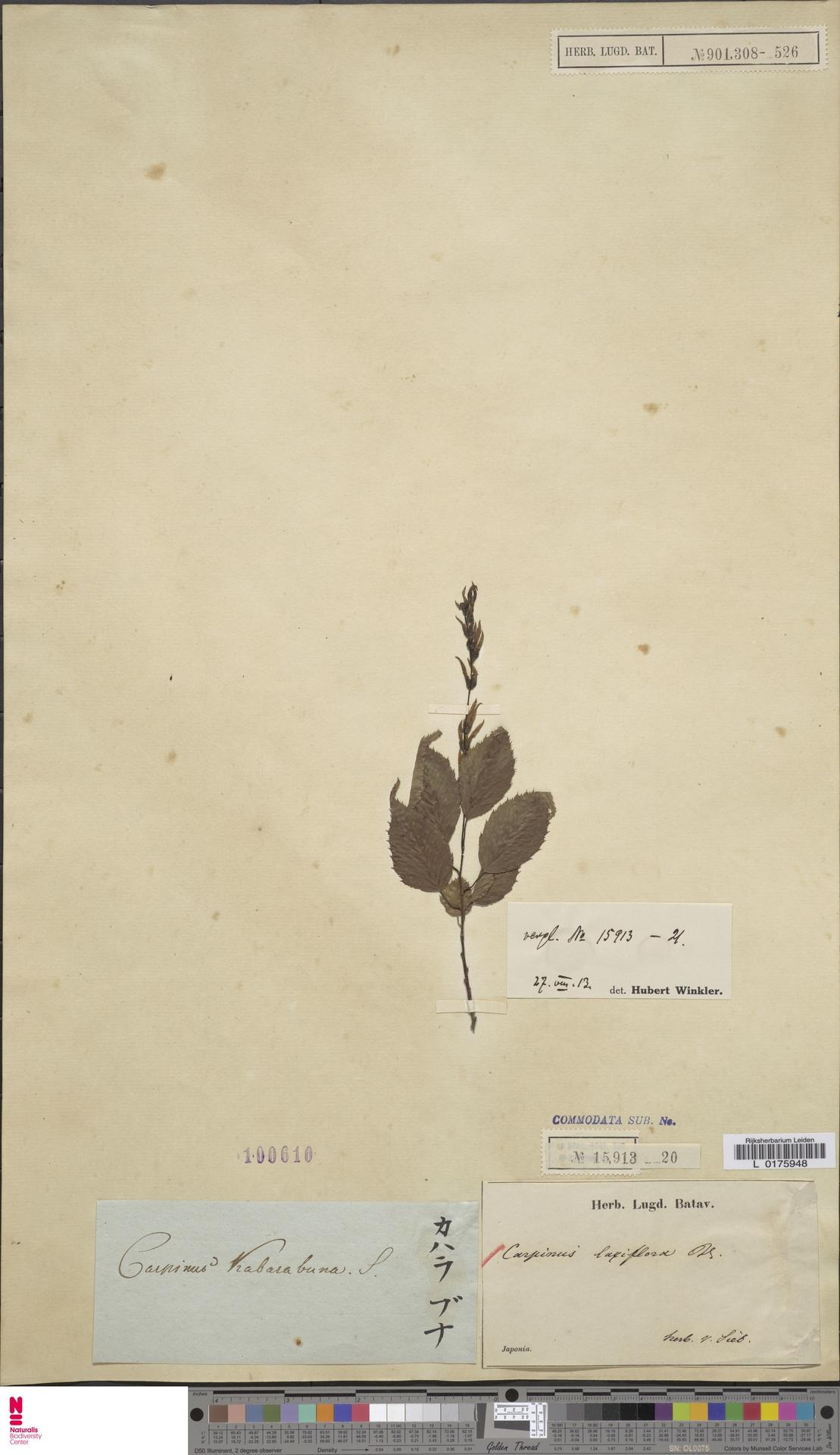 L  0175948 | Carpinus laxiflora (Siebold & Zucc.) Blume