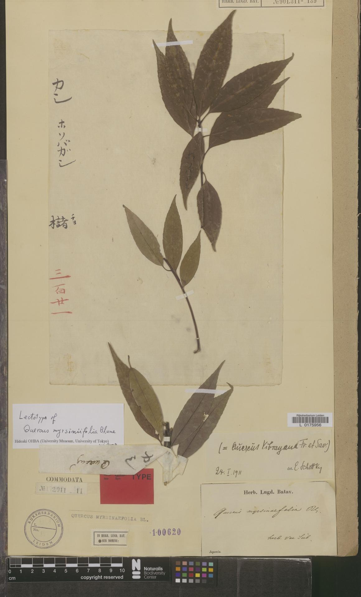 L  0175956 | Quercus myrsinaefolia Blume