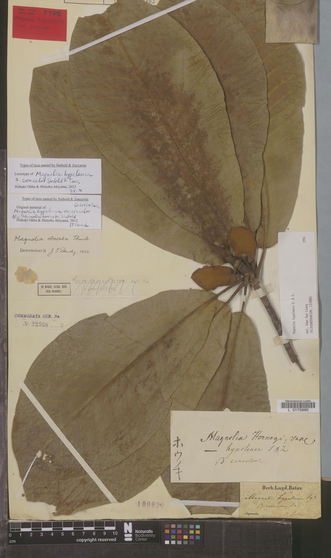 L  0175990 | Magnolia hypoleuca Siebold & Zucc.