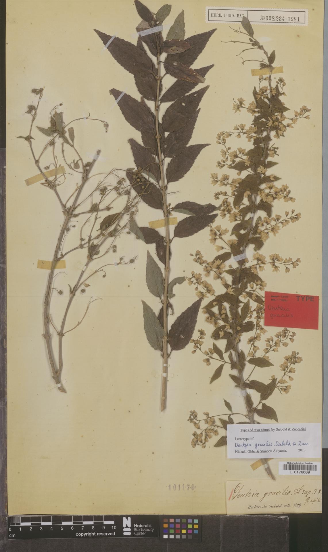 L  0176009 | Deutzia gracilis Siebold & Zucc.