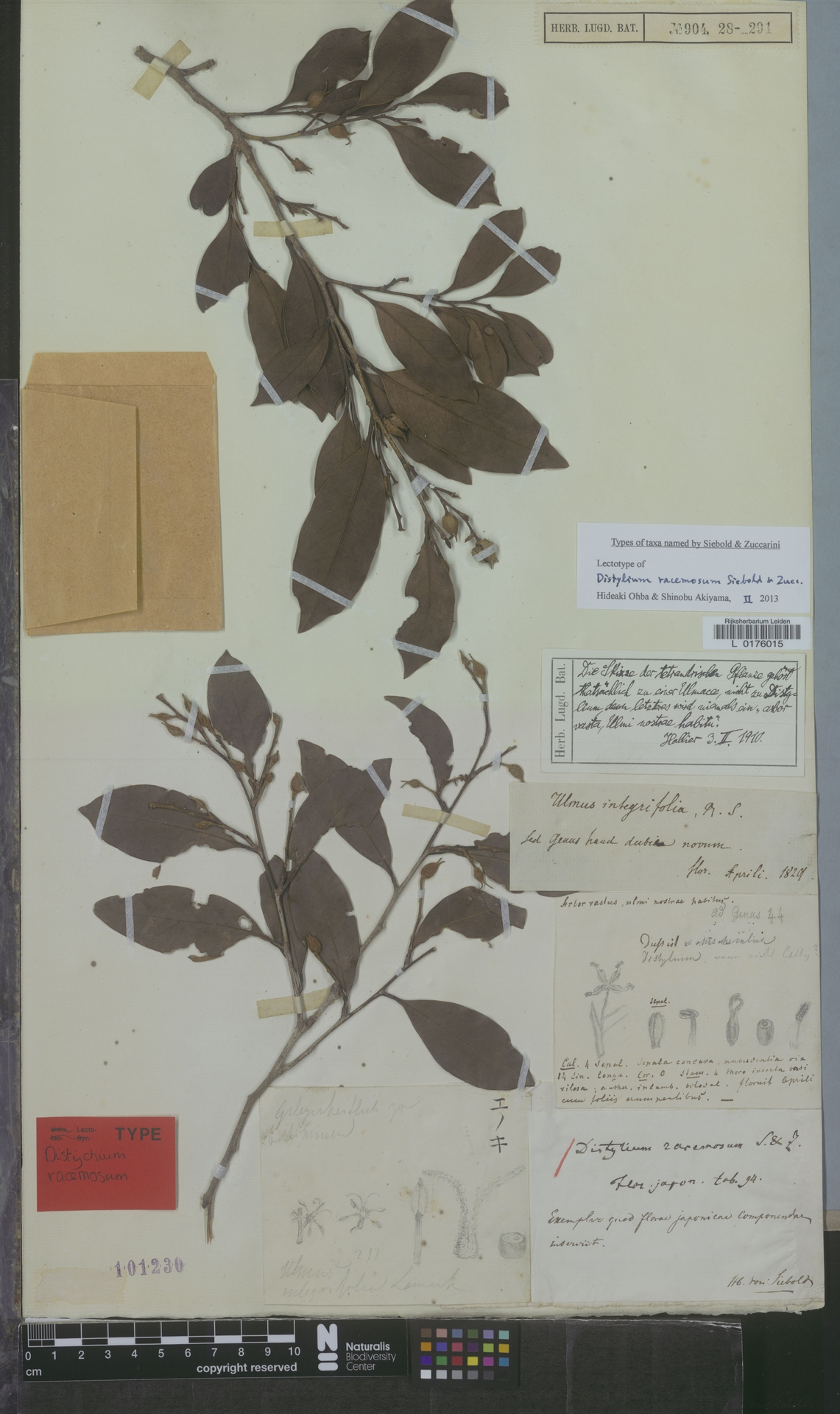 L  0176015   Distylium racemosum Siebold & Zucc.