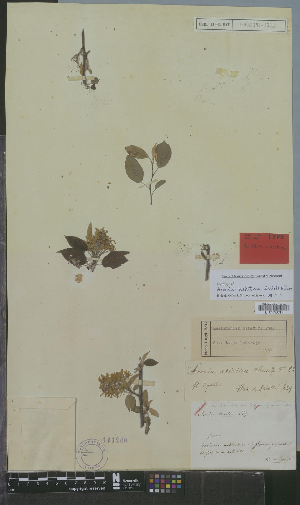 L  0176017 | Amelanchier asiatica (Siebold & Zucc.) Endl. ex Walp.