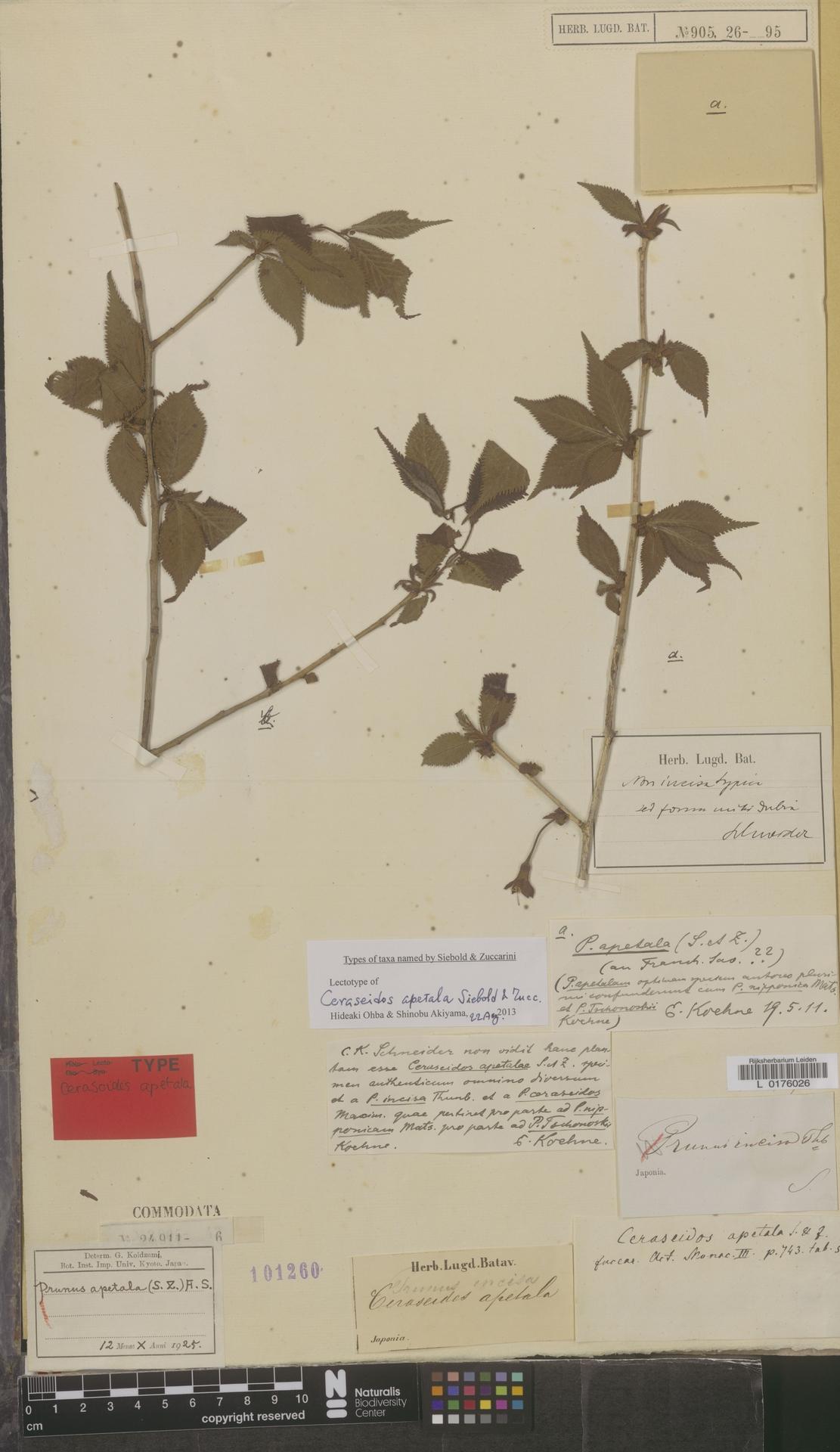 L  0176026   Prunus apetala (Siebold & Zucc.) Franch. & Sav.