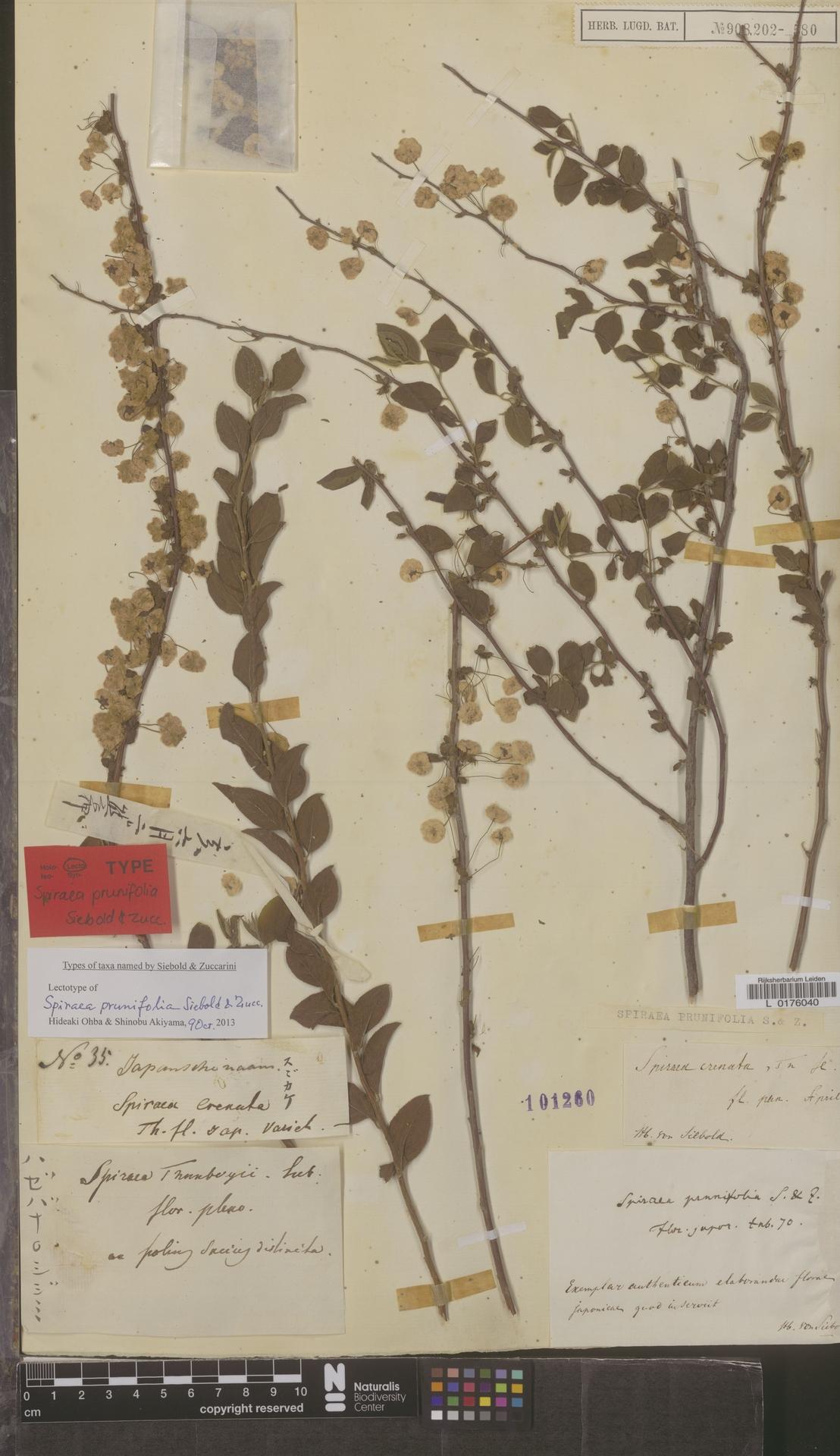 L  0176040 | Spiraea prunifolia Siebold & Zucc.