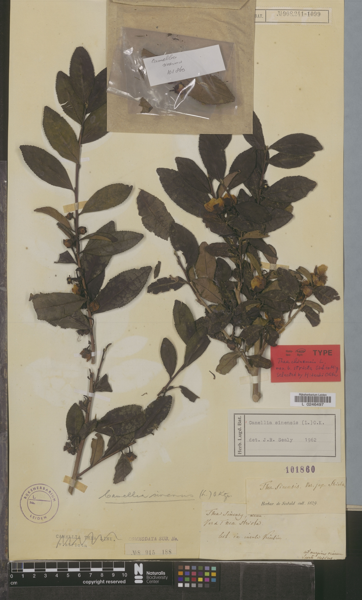 L  0246497 | Camellia sinensis (L.) Kuntze