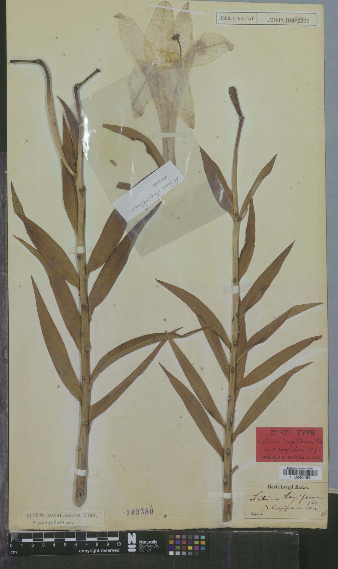 L  0246499 | Lilium longiflorum var. longifolium Miq.