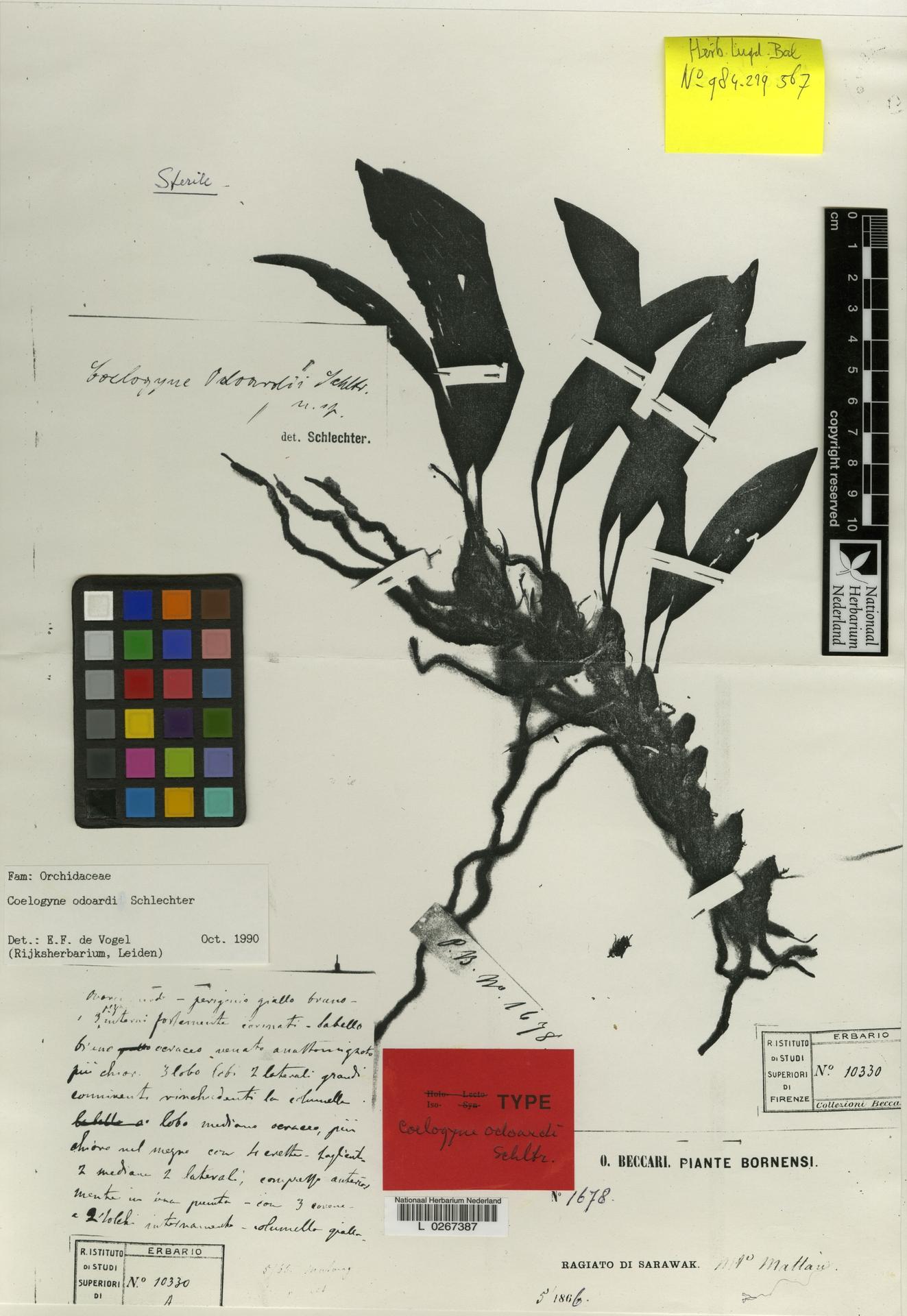 L  0267387 | Coelogyne odoardii Schltr.