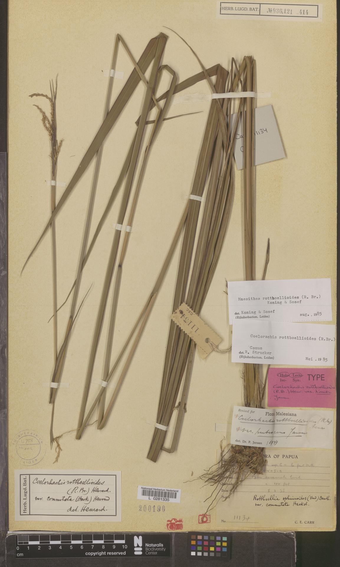 L  0281335 | Mnesithea rottboellioides (R.Br.) de Koning & Sosef