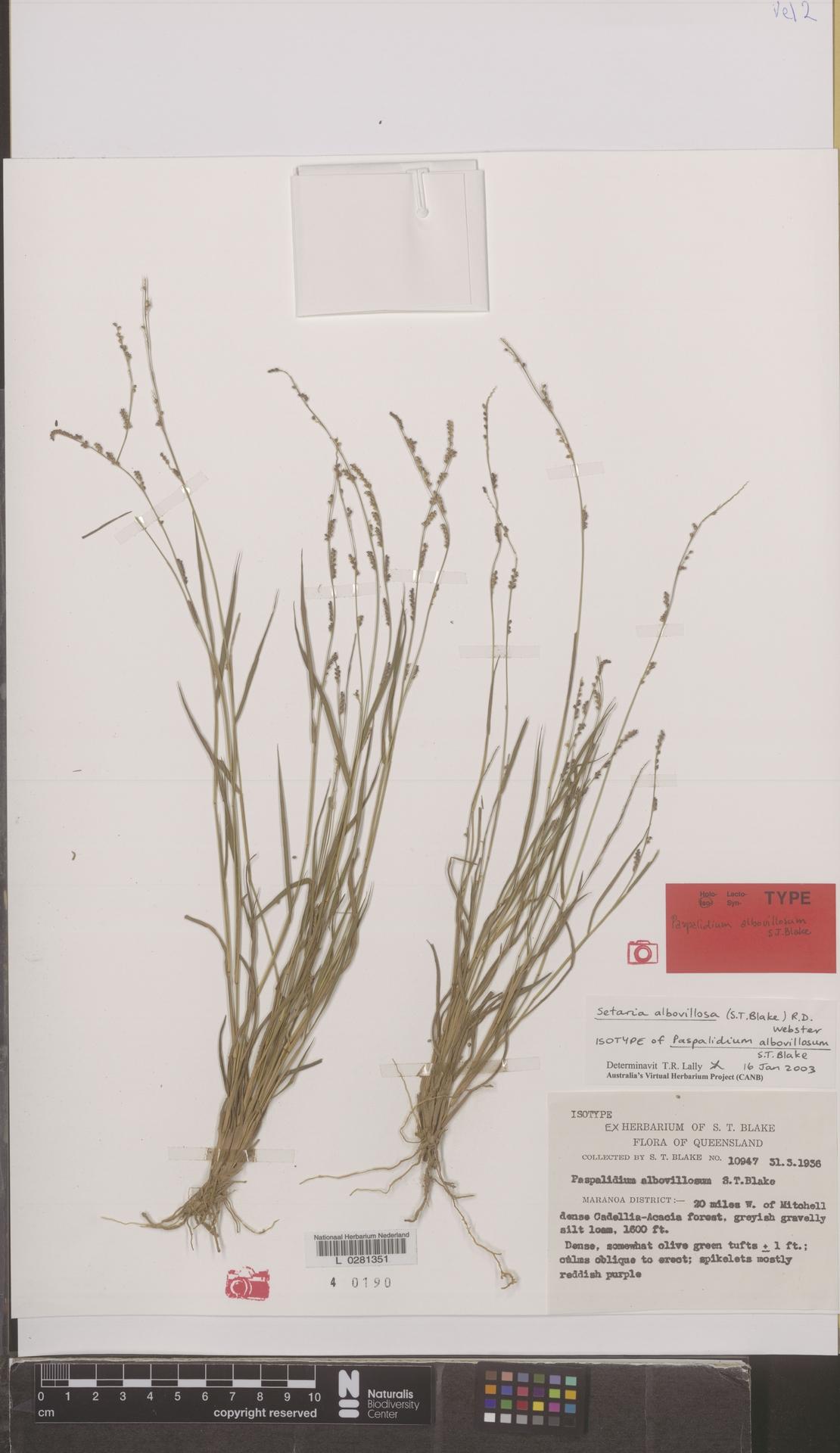 L  0281351 | Setaria albovillosa (S.T.Blake) R.D.Webster