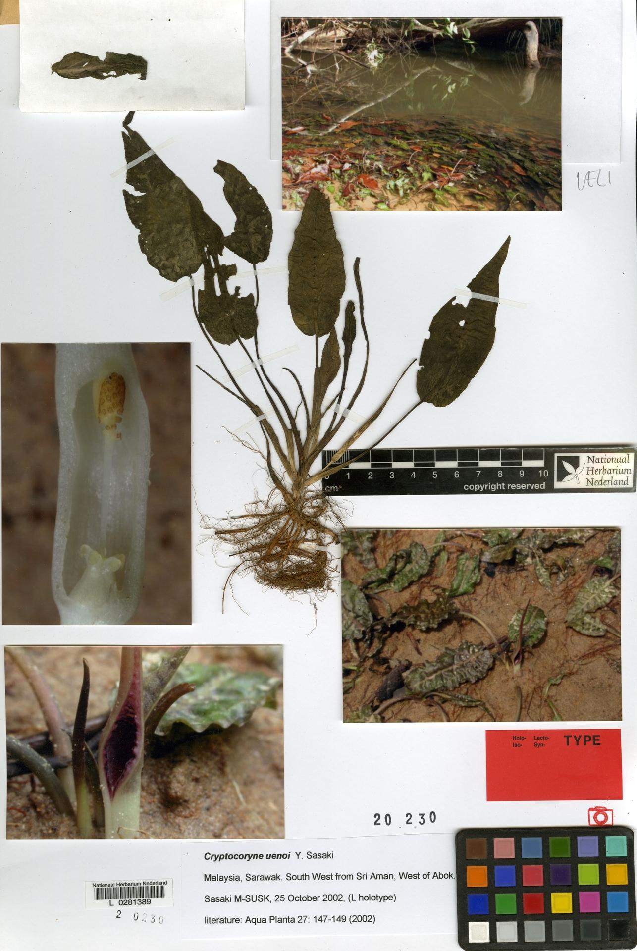 L  0281389 | Cryptocoryne uenoi Y.Sasaki