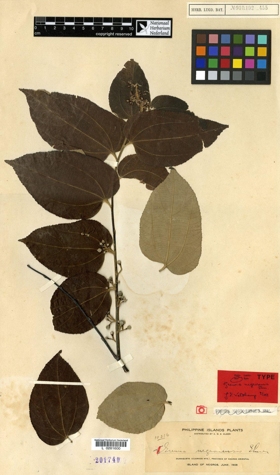 L  0281600 | Grewia negrosensis Elmer