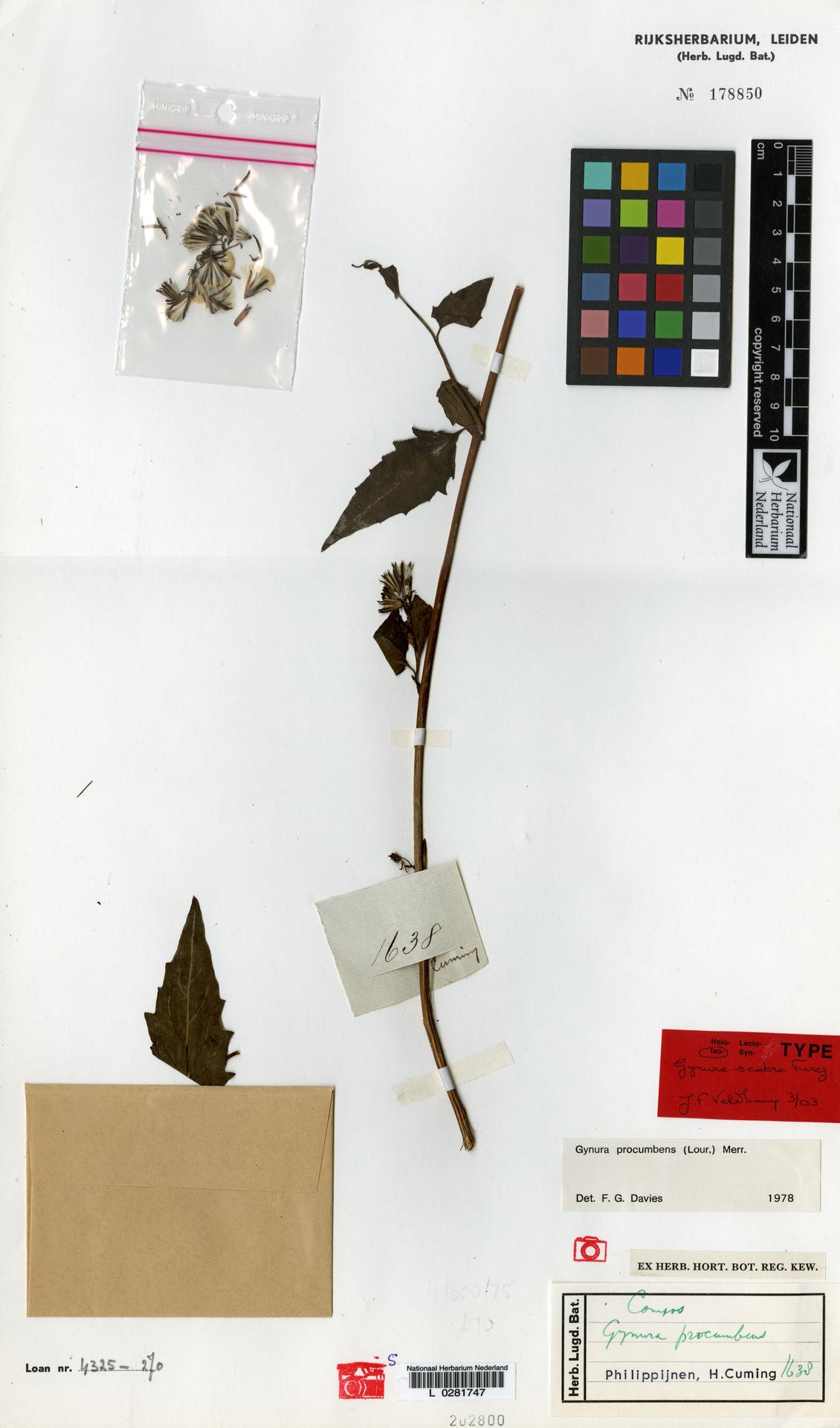 L  0281747 | Gynura procumbens (Lour.) Merr.