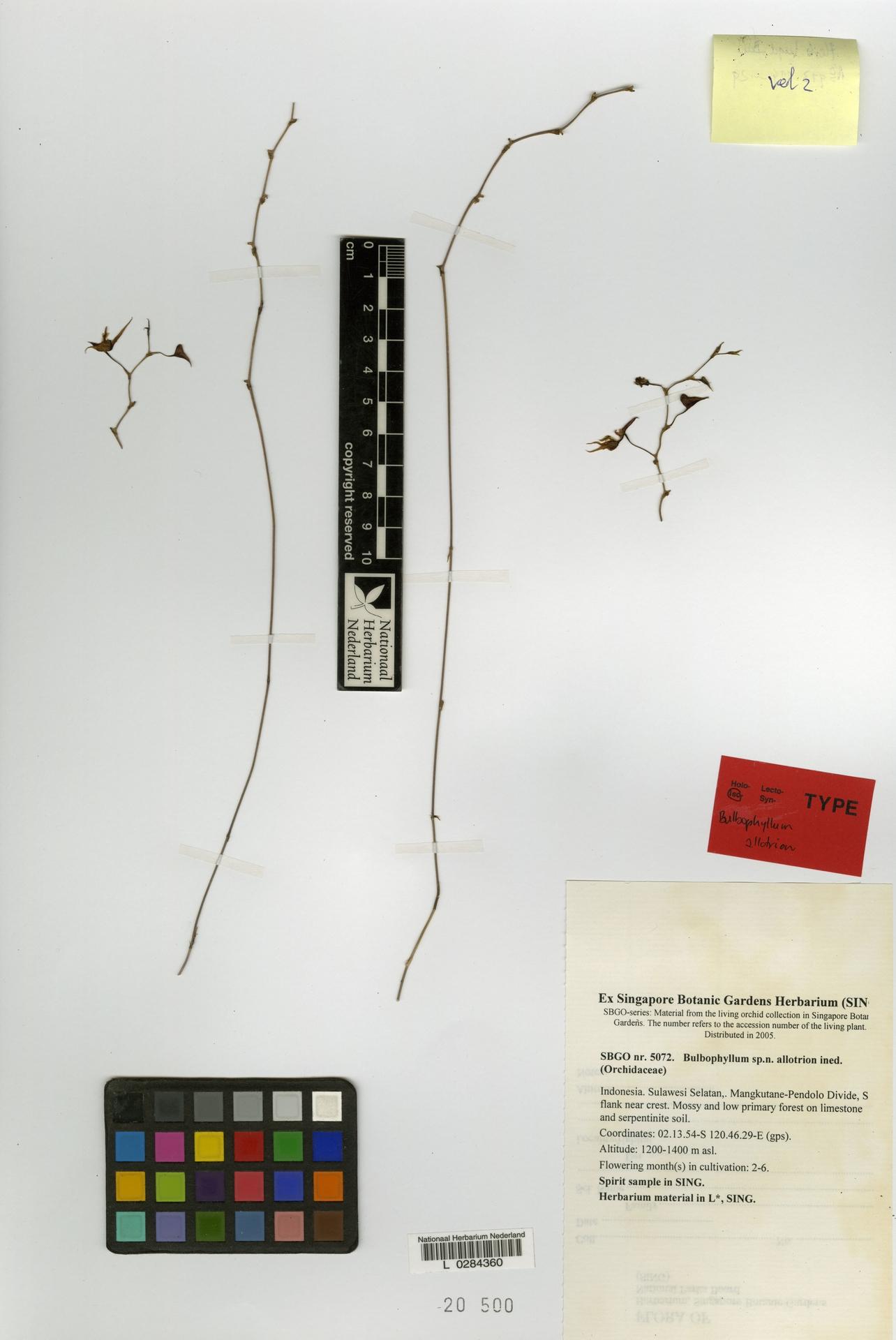 L  0284360   Bulbophyllum allotrion J.J.Verm. & P.O'Byrne