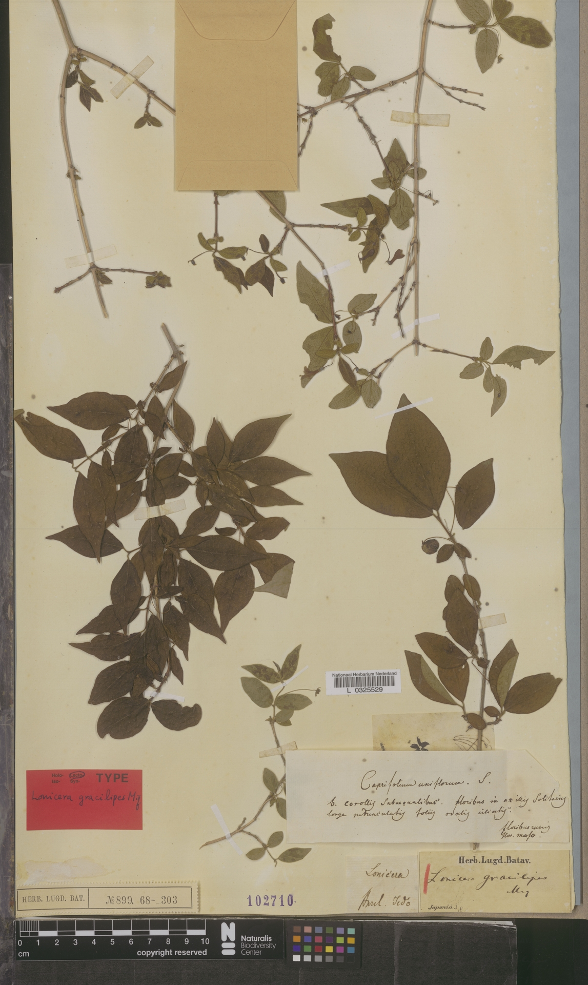 L  0325529 | Lonicera gracilipes Miq.