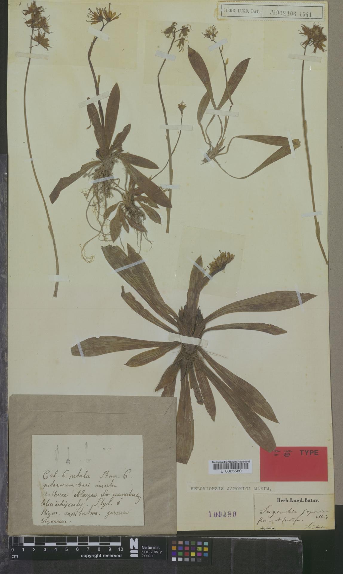 L  0325580 | Heloniopsis japonica Maxim.
