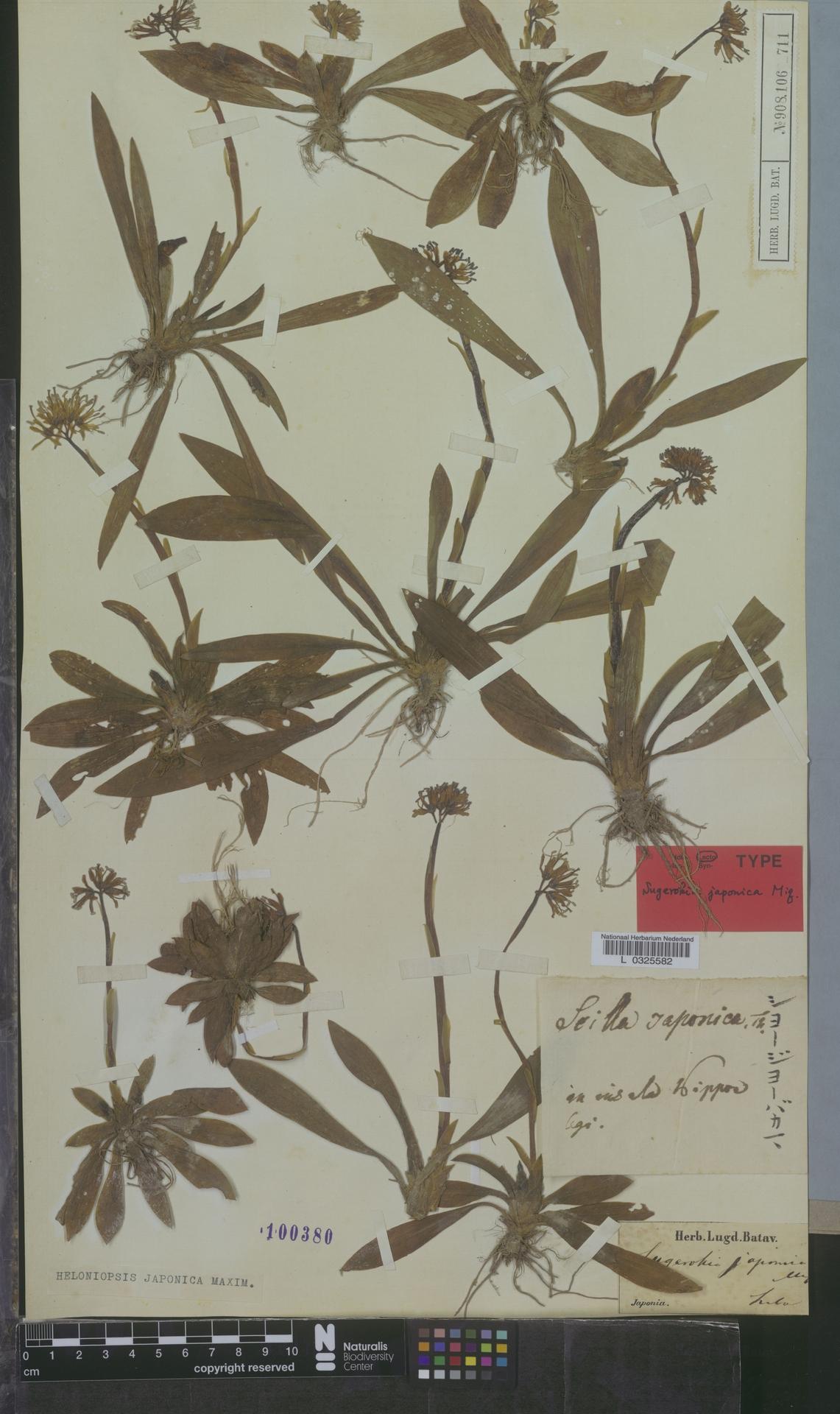 L  0325582 | Heloniopsis japonica Maxim.