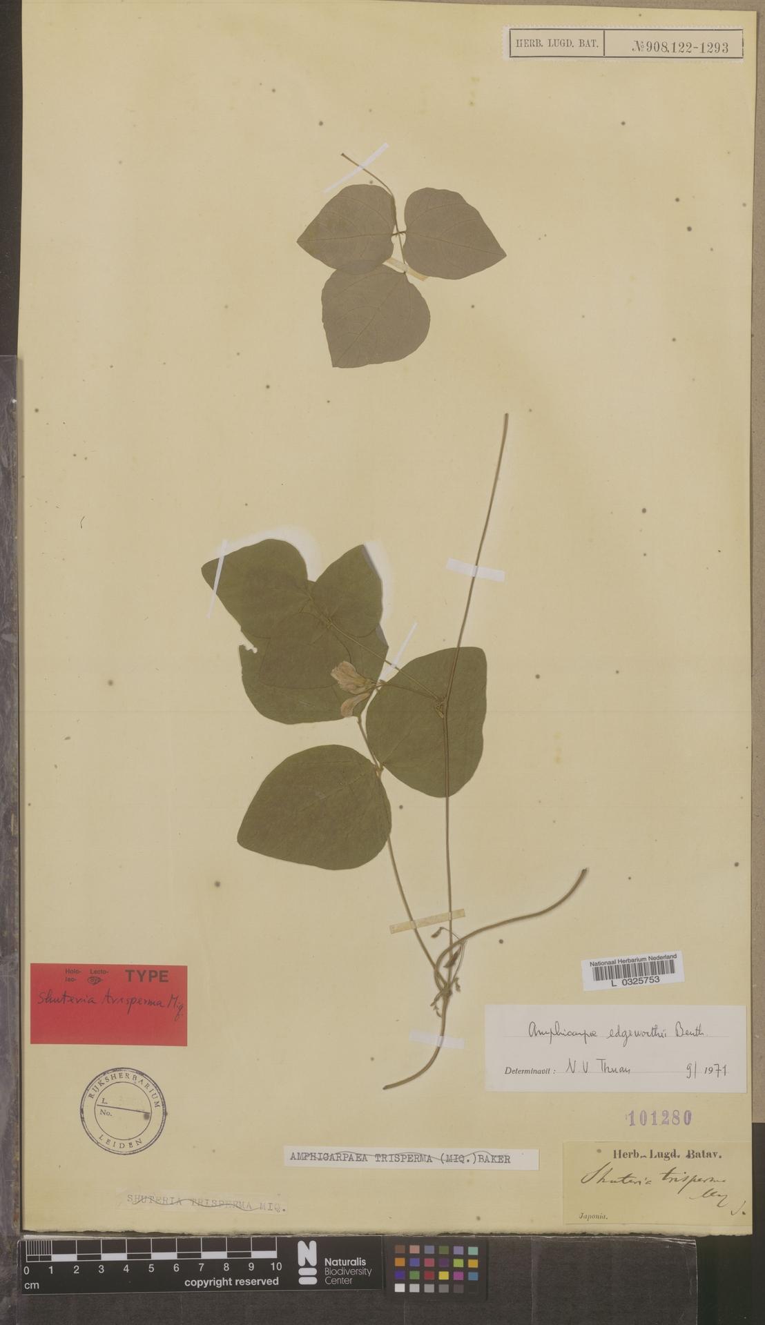 L  0325753 | Amphicarpaea edgeworthii Benth.