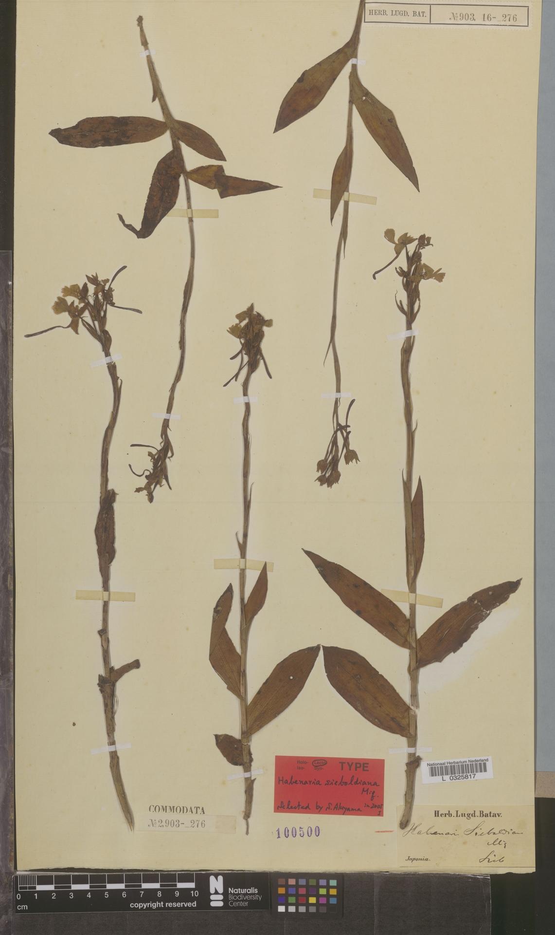 L  0325817 | Habenaria sieboldiana Miq.