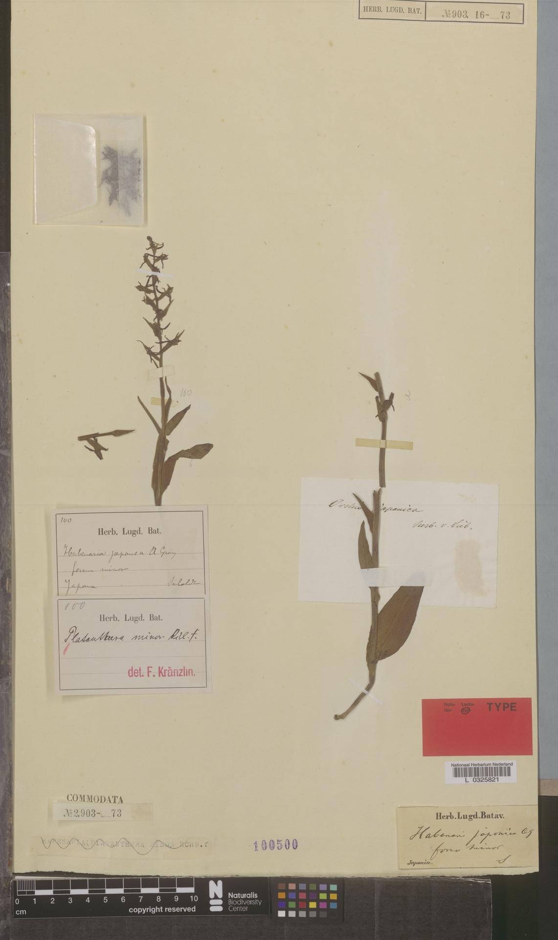 L  0325821   Platanthera minor Rchb.f.