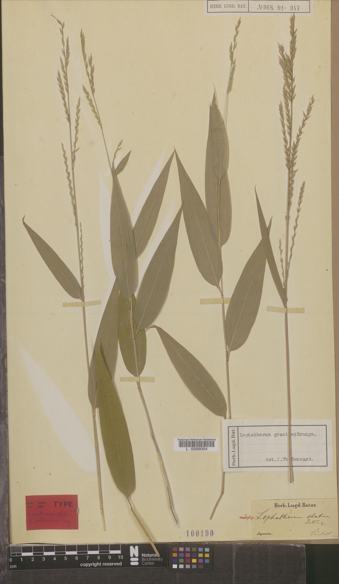 L  0326054 | Lophatherum gracile Brongn.