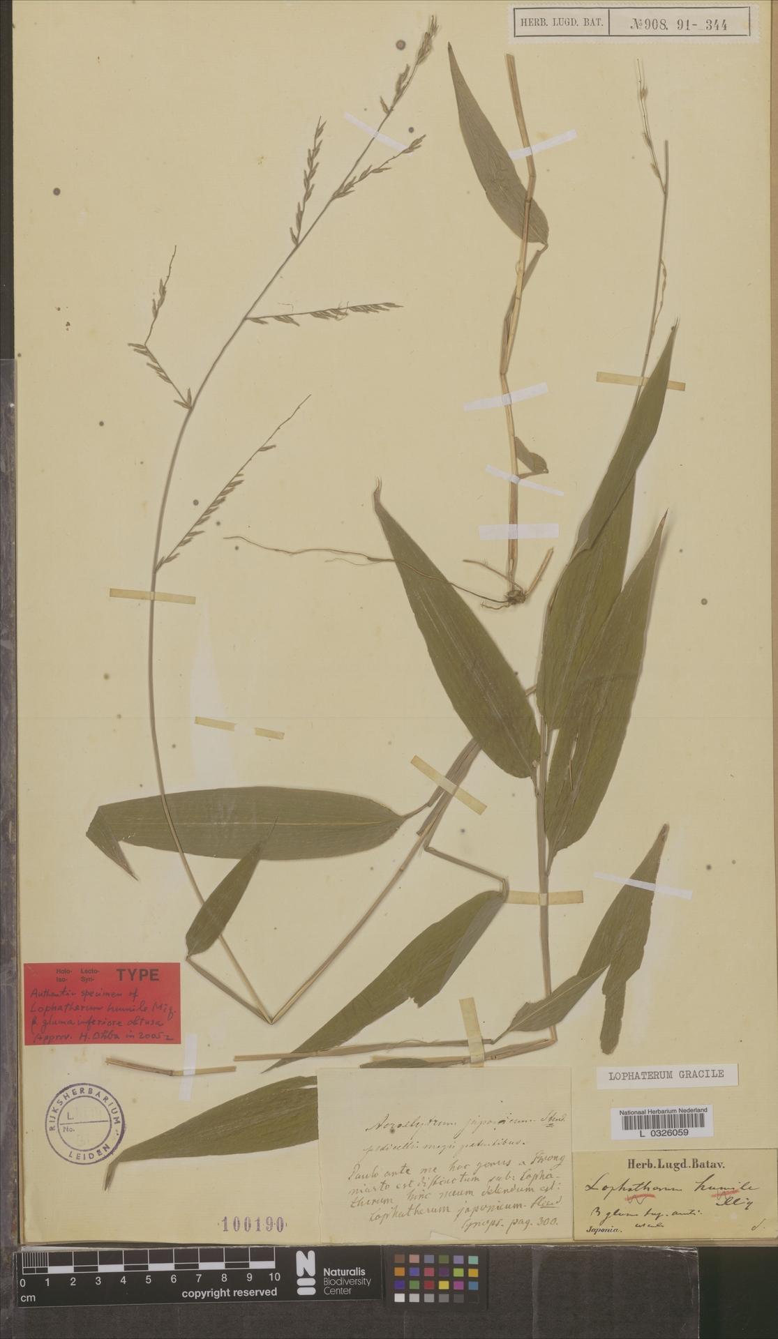 L  0326059 | Lophatherum gracile Brongn.