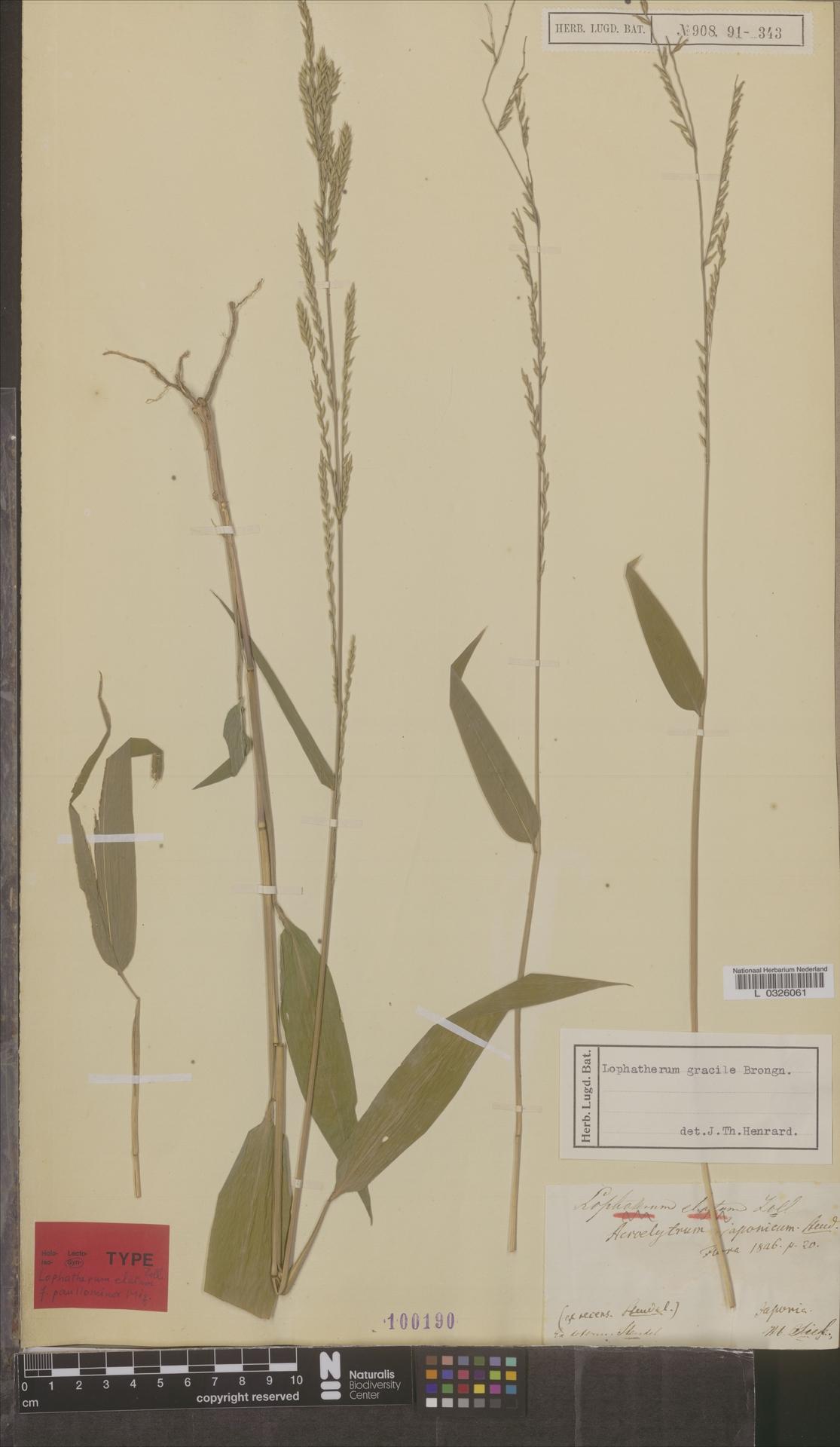 L  0326061 | Lophatherum gracile Brongn.