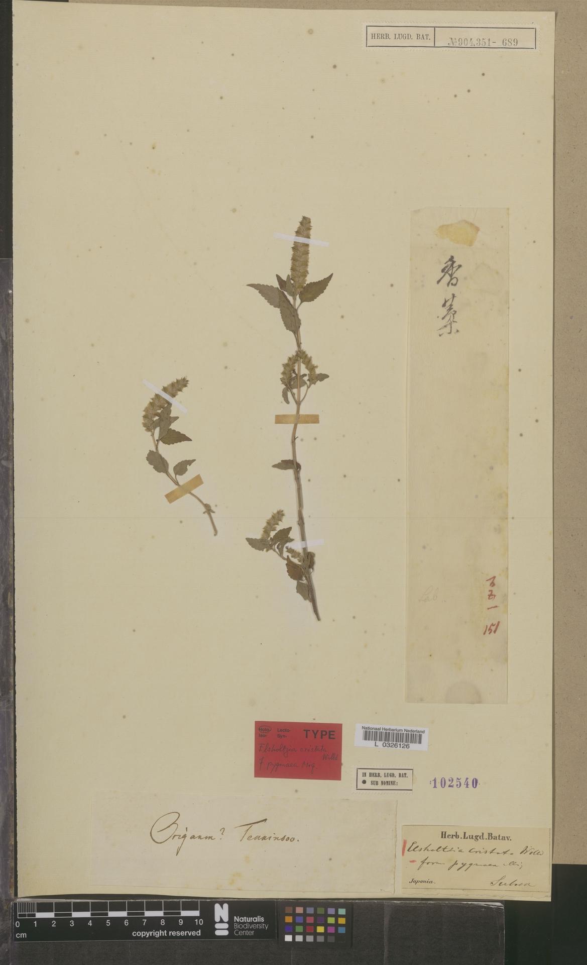 L  0326126 | Elsholtzia cristata f. pygmaea Miq.