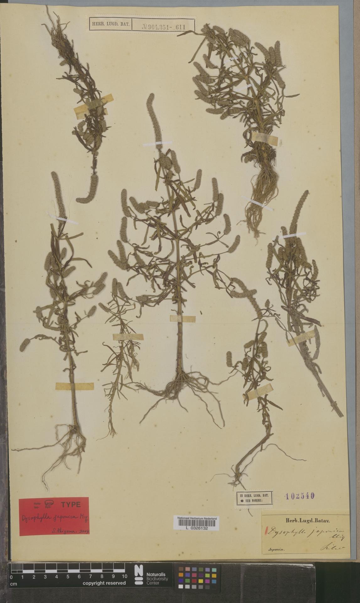 L  0326132 | Dysophylla japonica Miq.