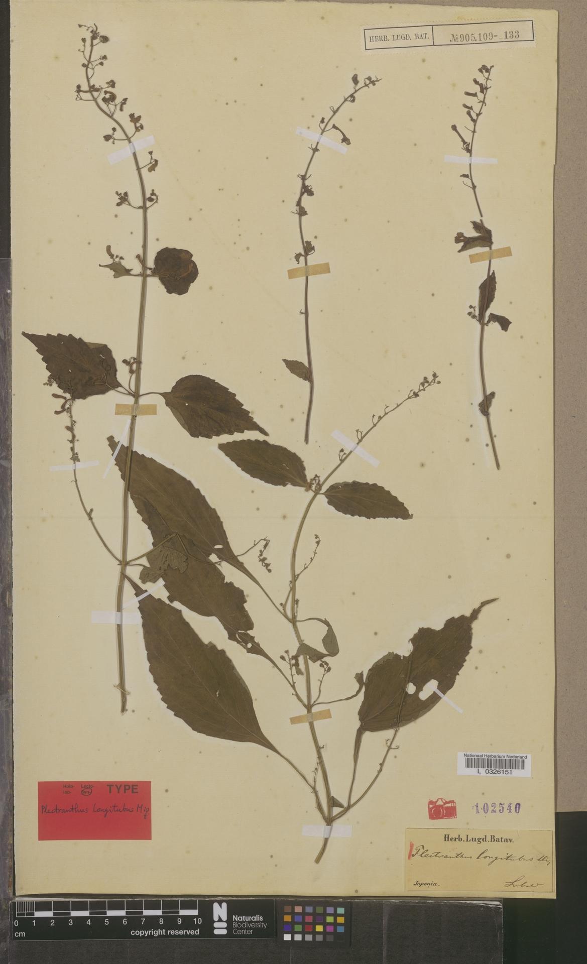 L  0326151 | Plectranthus longitubus Miq.