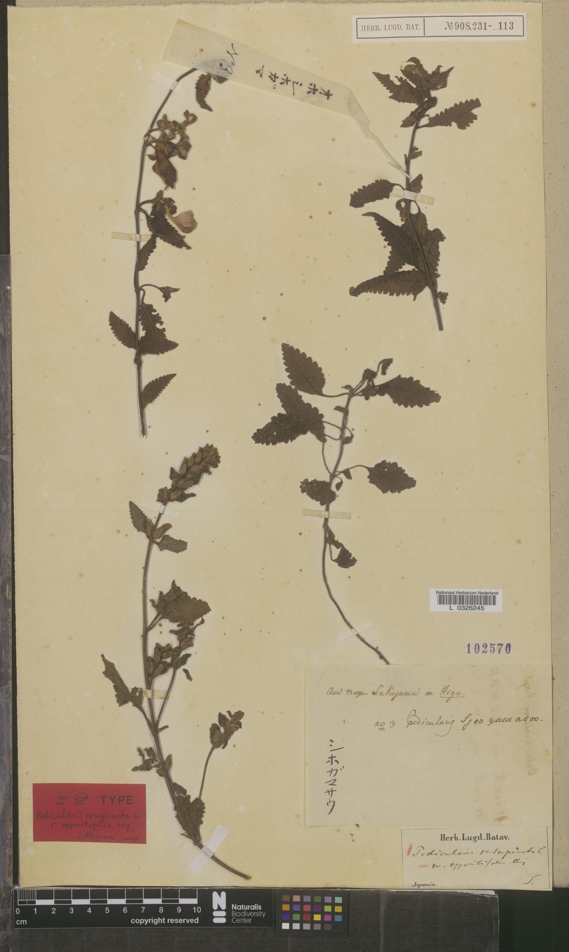 L  0326245 | Pedicularis resupinata var. oppositifolia Miq.