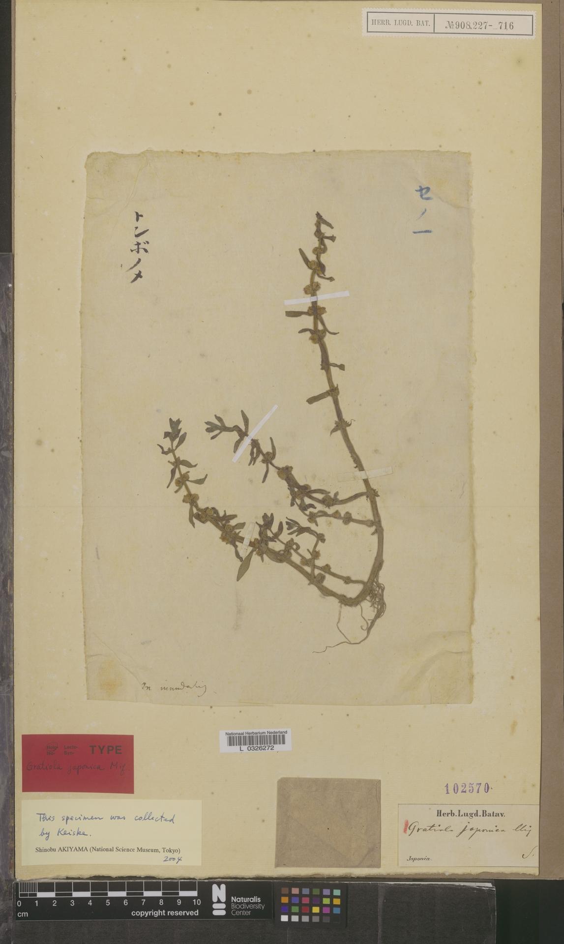 L  0326272 | Gratiola japonica Miq.