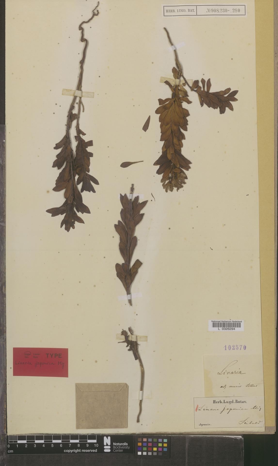 L  0326294 | Linaria japonica Miq.