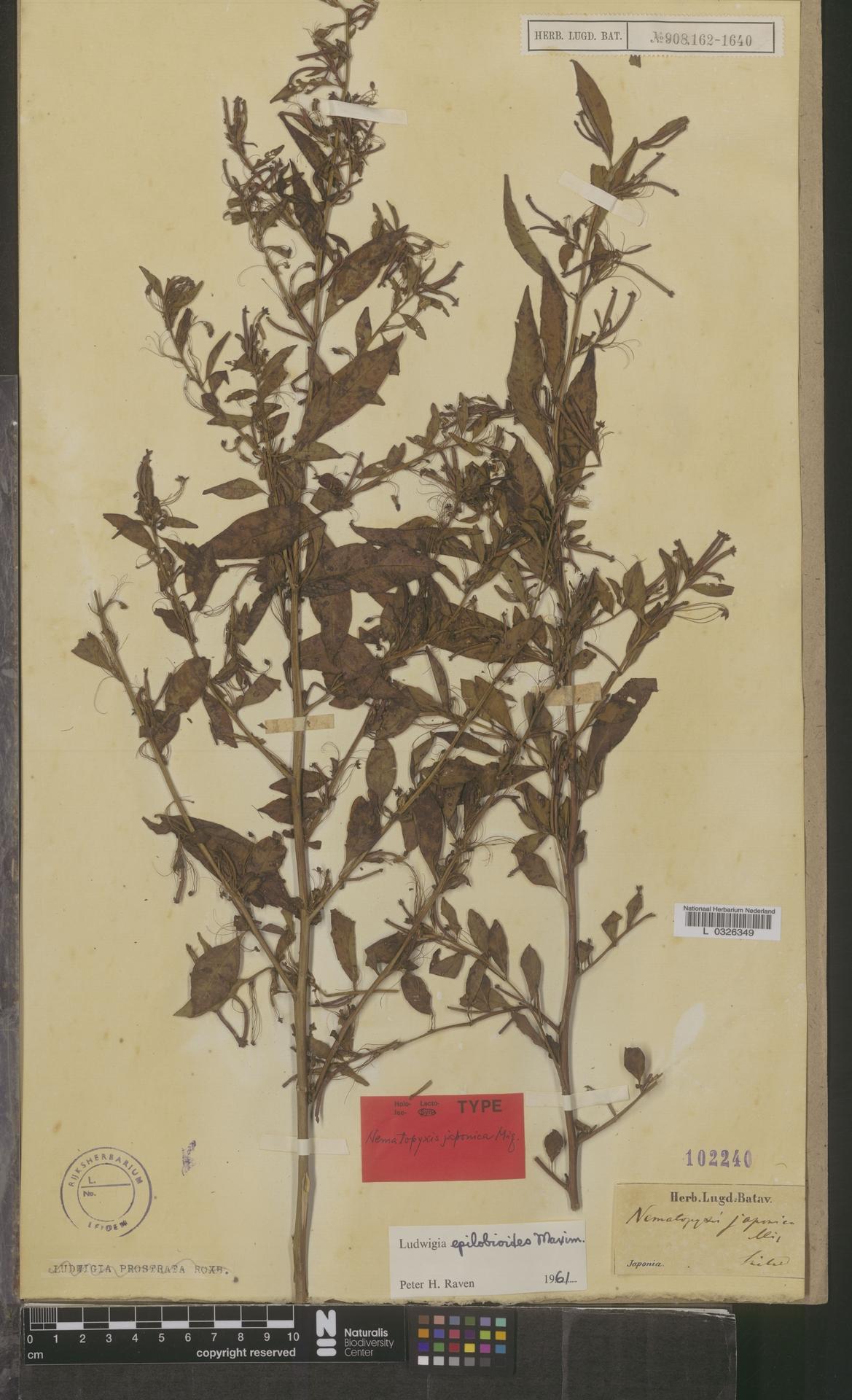 L  0326349 | Ludwigia epilobioides Maxim.