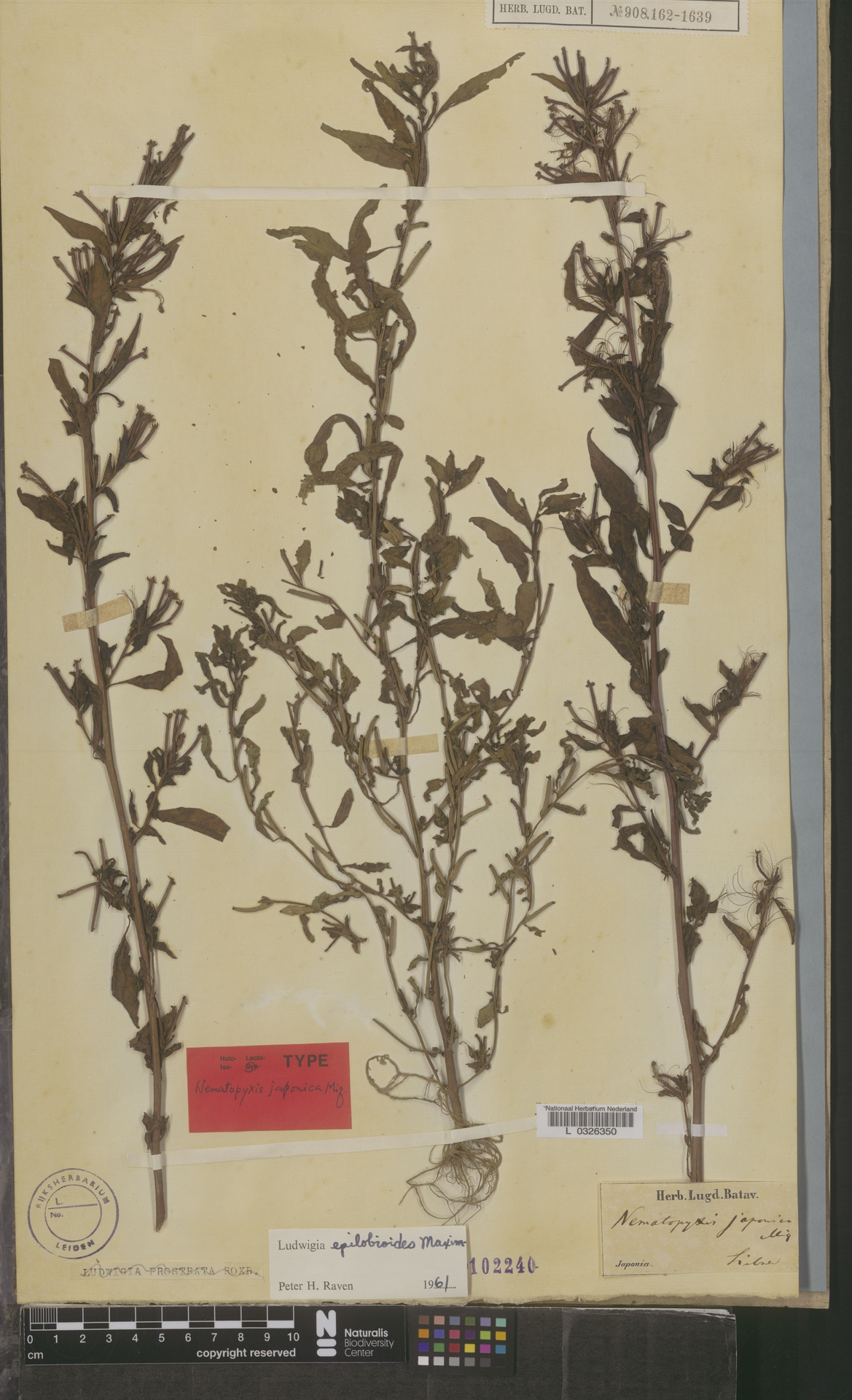 L  0326350 | Ludwigia epilobioides Maxim.